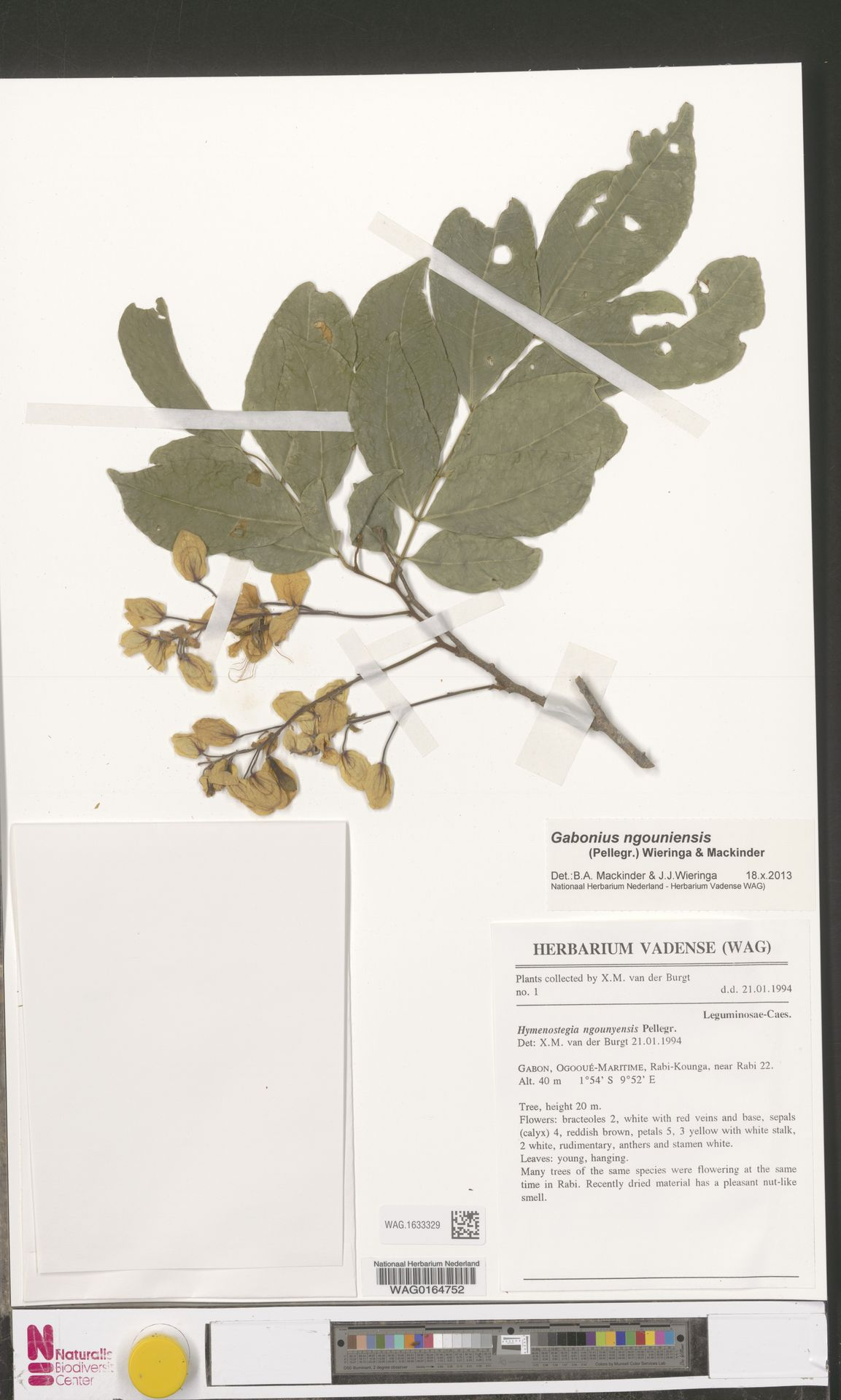 WAG.1633329 | Gabonius ngouniensis (Pellegr.) Wieringa & Mackinder