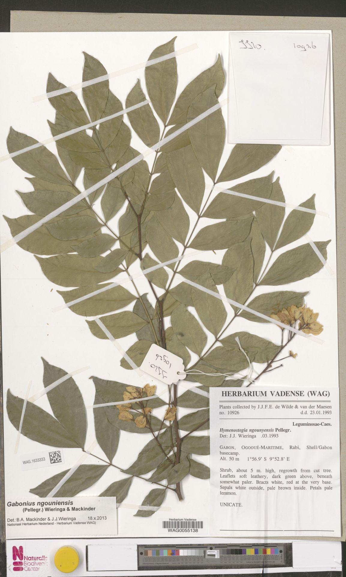 WAG.1633333 | Gabonius ngouniensis (Pellegr.) Wieringa & Mackinder