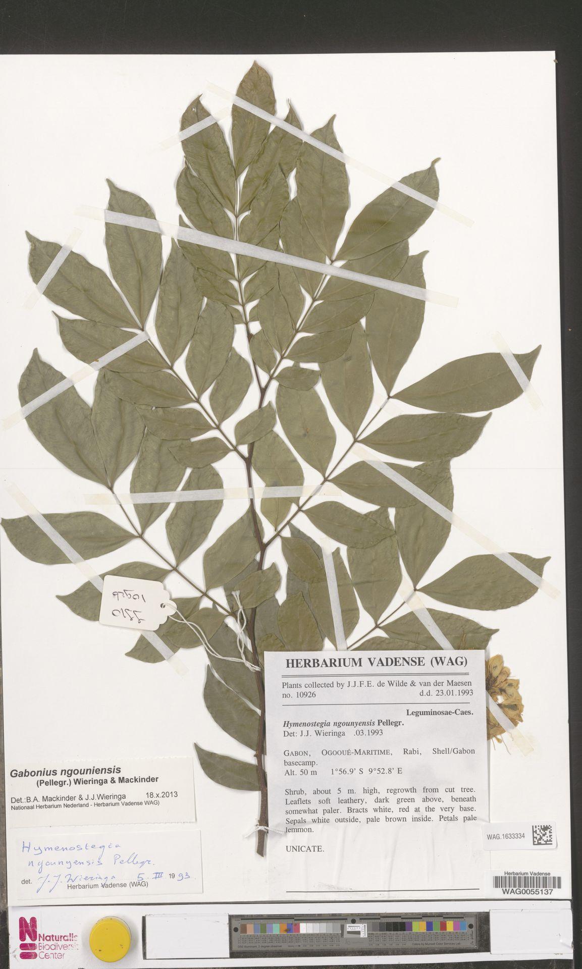 WAG.1633334 | Gabonius ngouniensis (Pellegr.) Wieringa & Mackinder