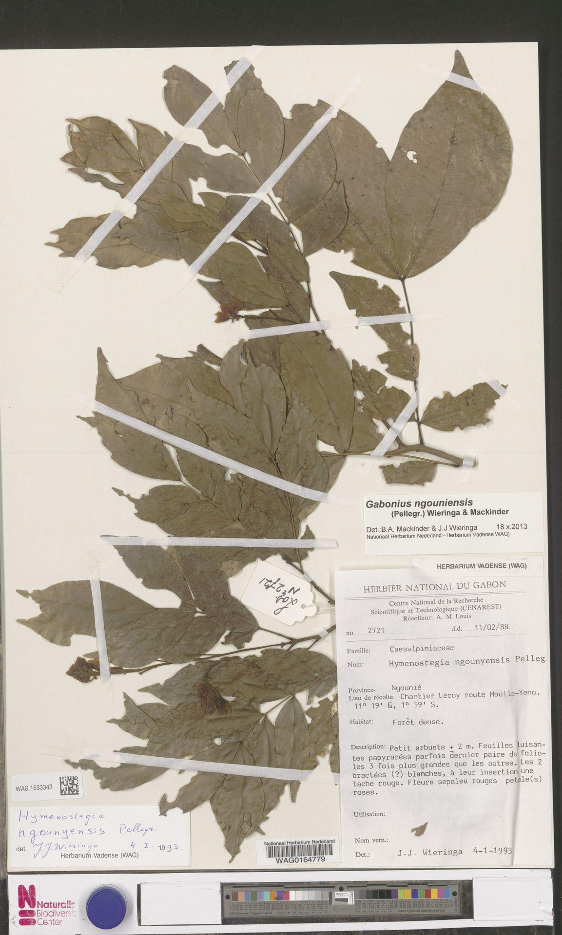 WAG.1633343 | Gabonius ngouniensis (Pellegr.) Wieringa & Mackinder