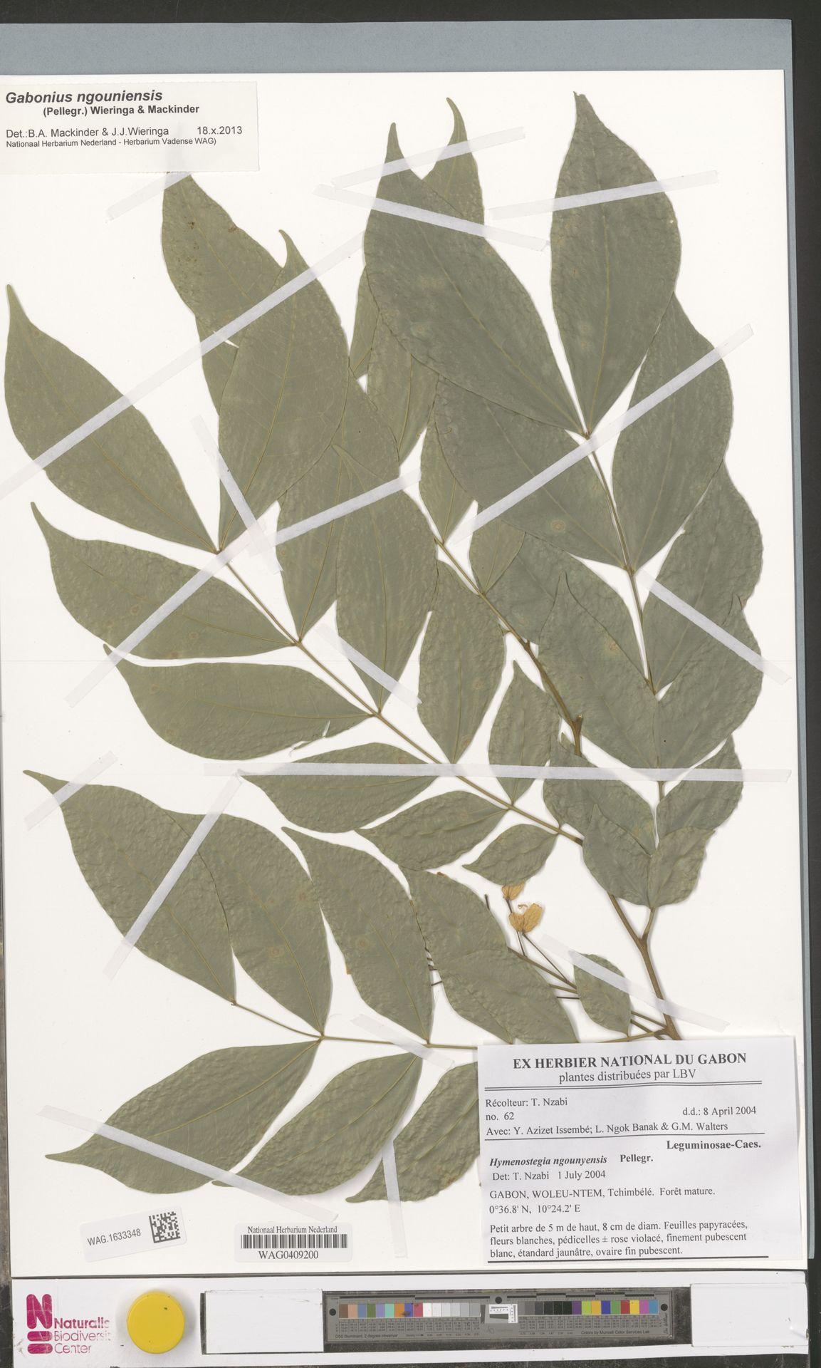 WAG.1633348 | Gabonius ngouniensis (Pellegr.) Wieringa & Mackinder