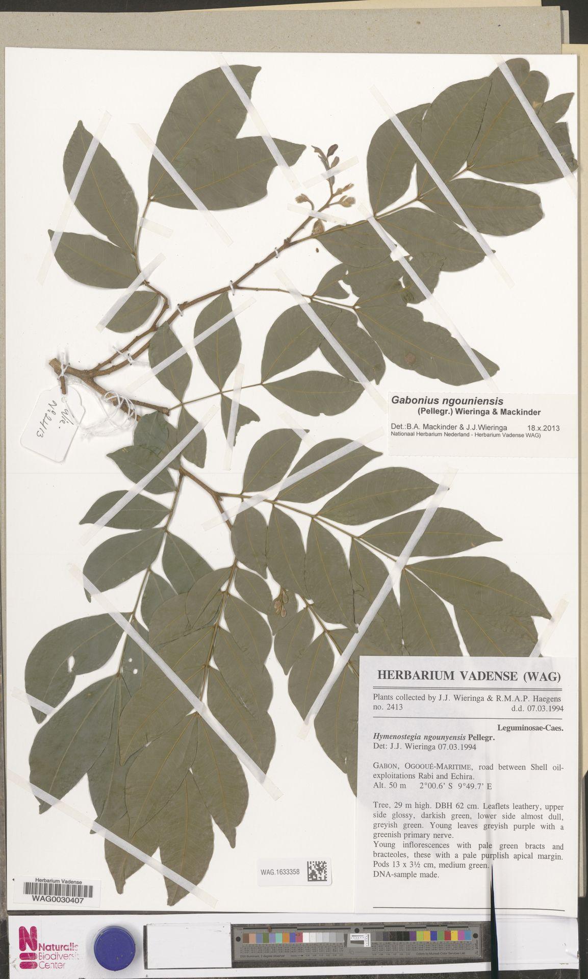 WAG.1633358 | Gabonius ngouniensis (Pellegr.) Wieringa & Mackinder