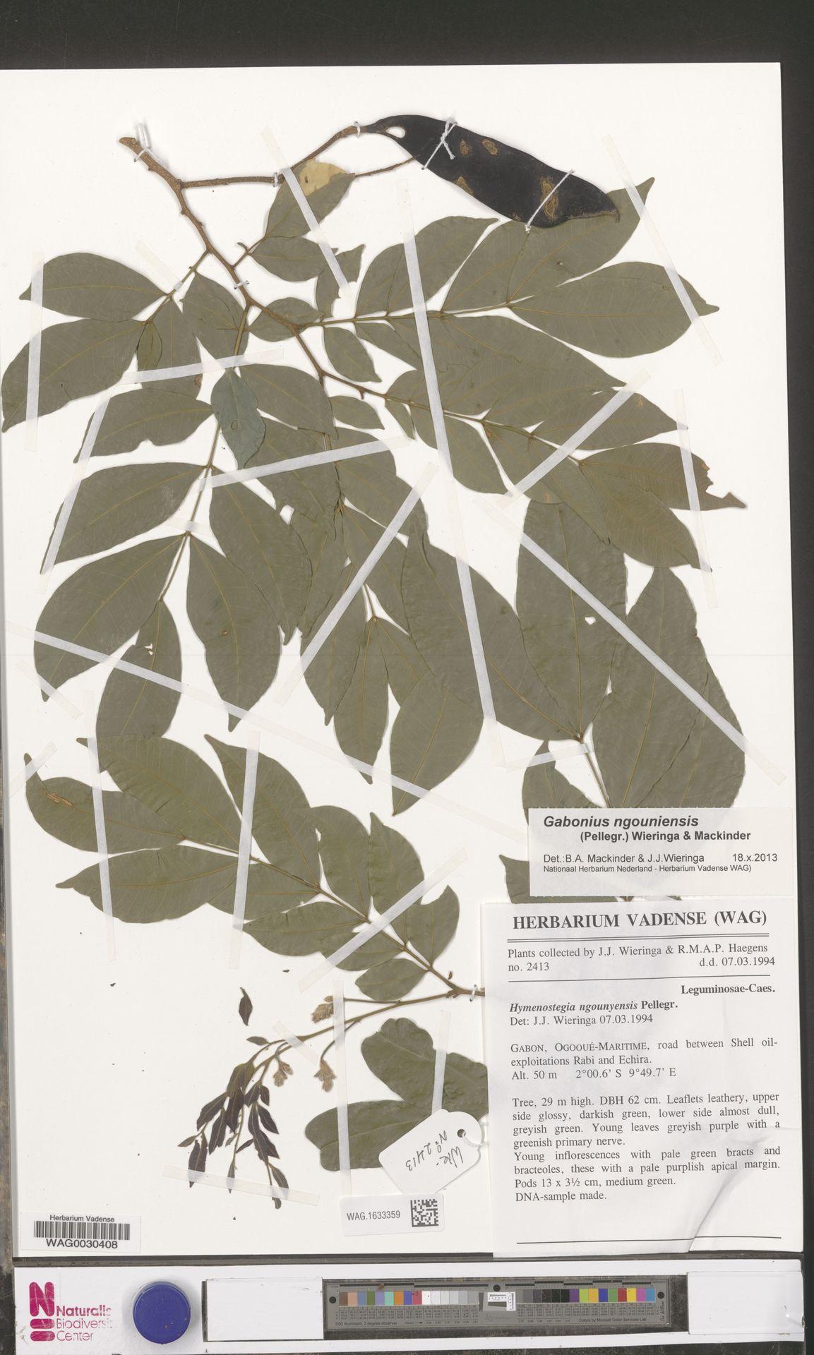 WAG.1633359 | Gabonius ngouniensis (Pellegr.) Wieringa & Mackinder