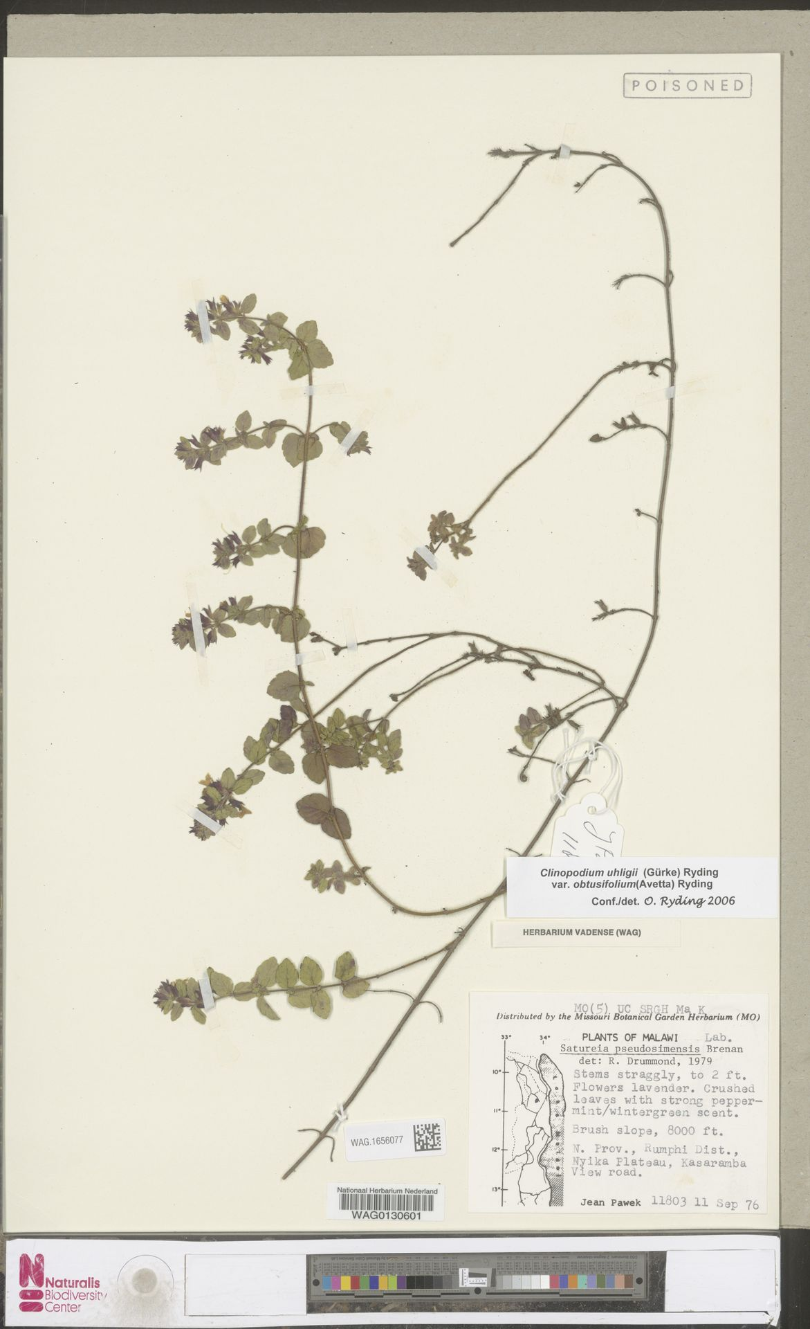 WAG.1656077 | Clinopodium uhligii var. obtusifolium (Avetta) Ryding