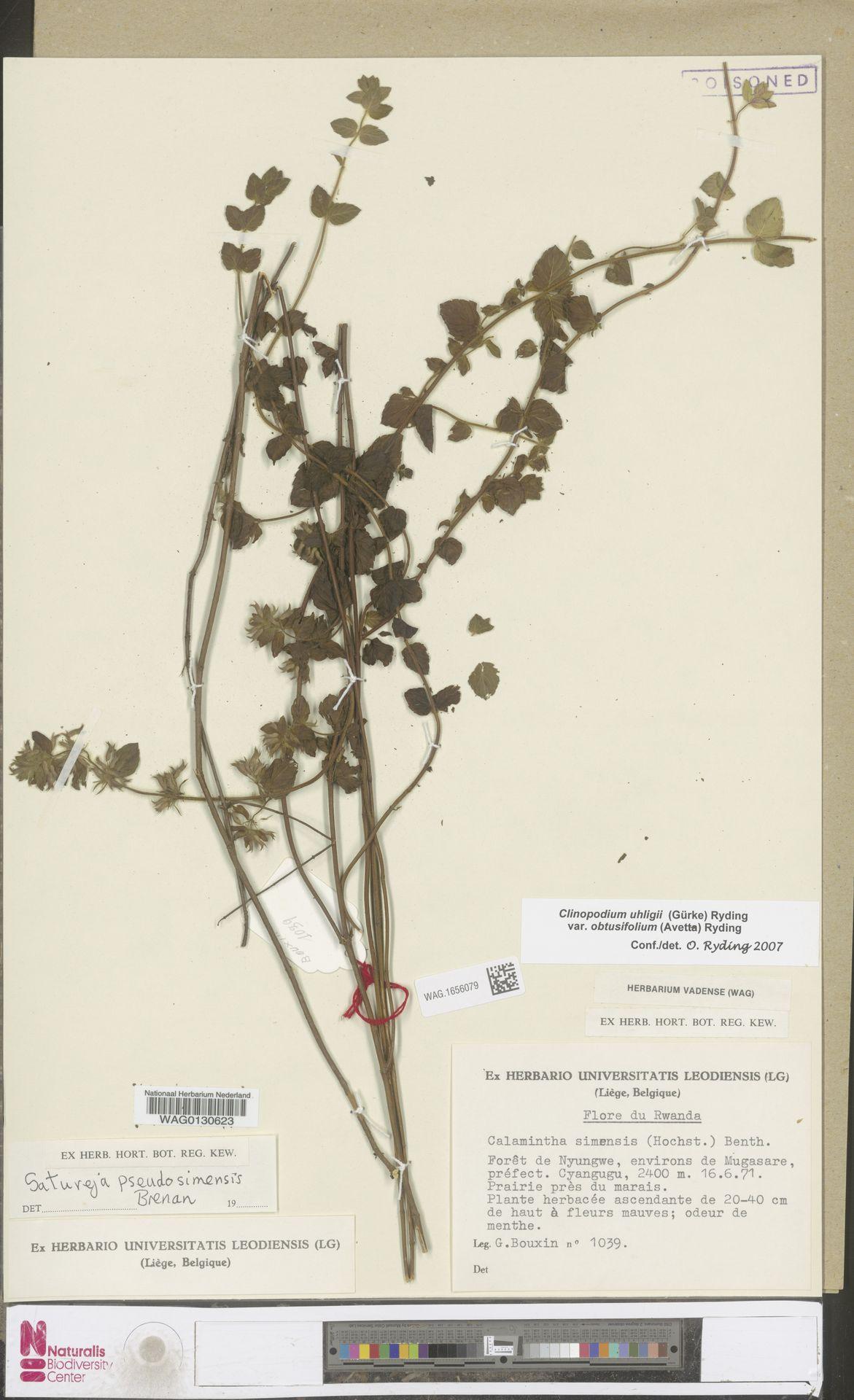 WAG.1656079 | Clinopodium uhligii var. obtusifolium (Avetta) Ryding