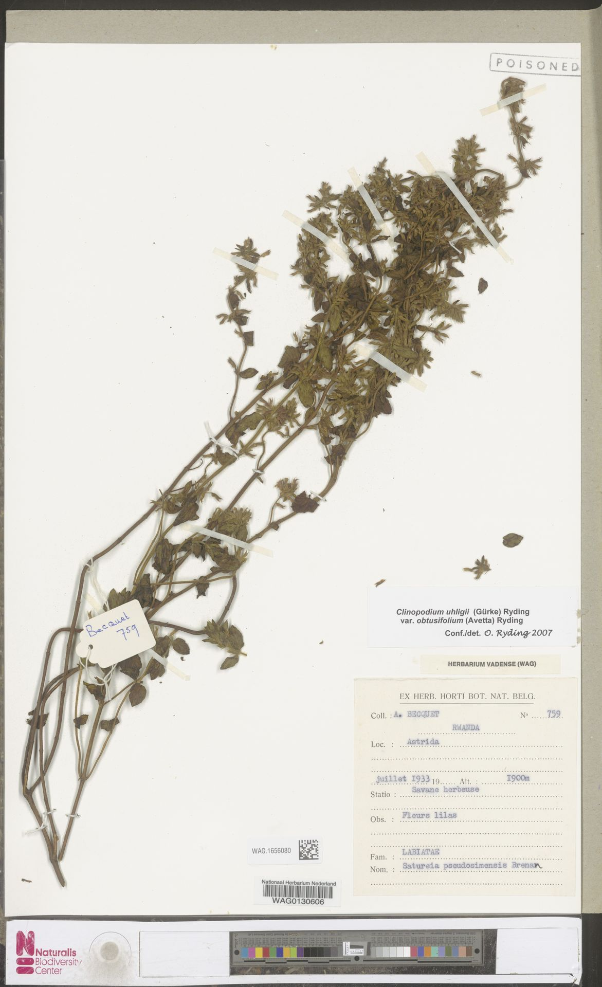WAG.1656080 | Clinopodium uhligii var. obtusifolium (Avetta) Ryding