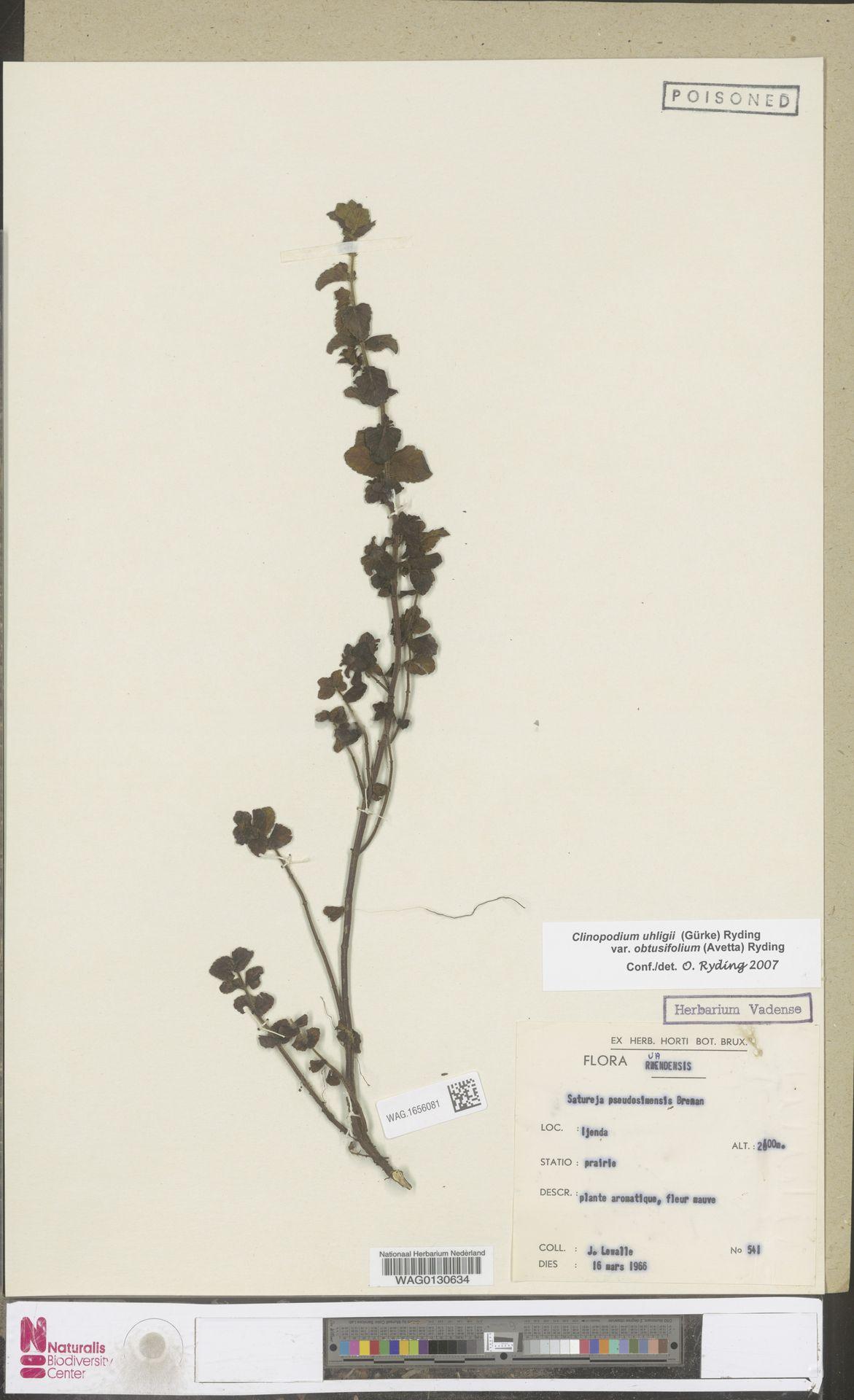 WAG.1656081 | Clinopodium uhligii var. obtusifolium (Avetta) Ryding