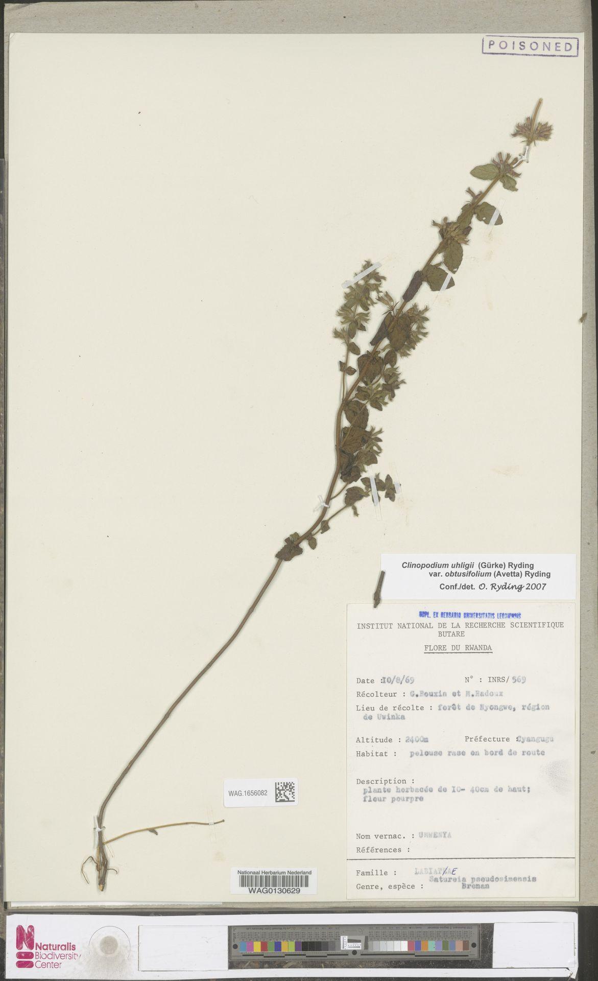 WAG.1656082 | Clinopodium uhligii var. obtusifolium (Avetta) Ryding