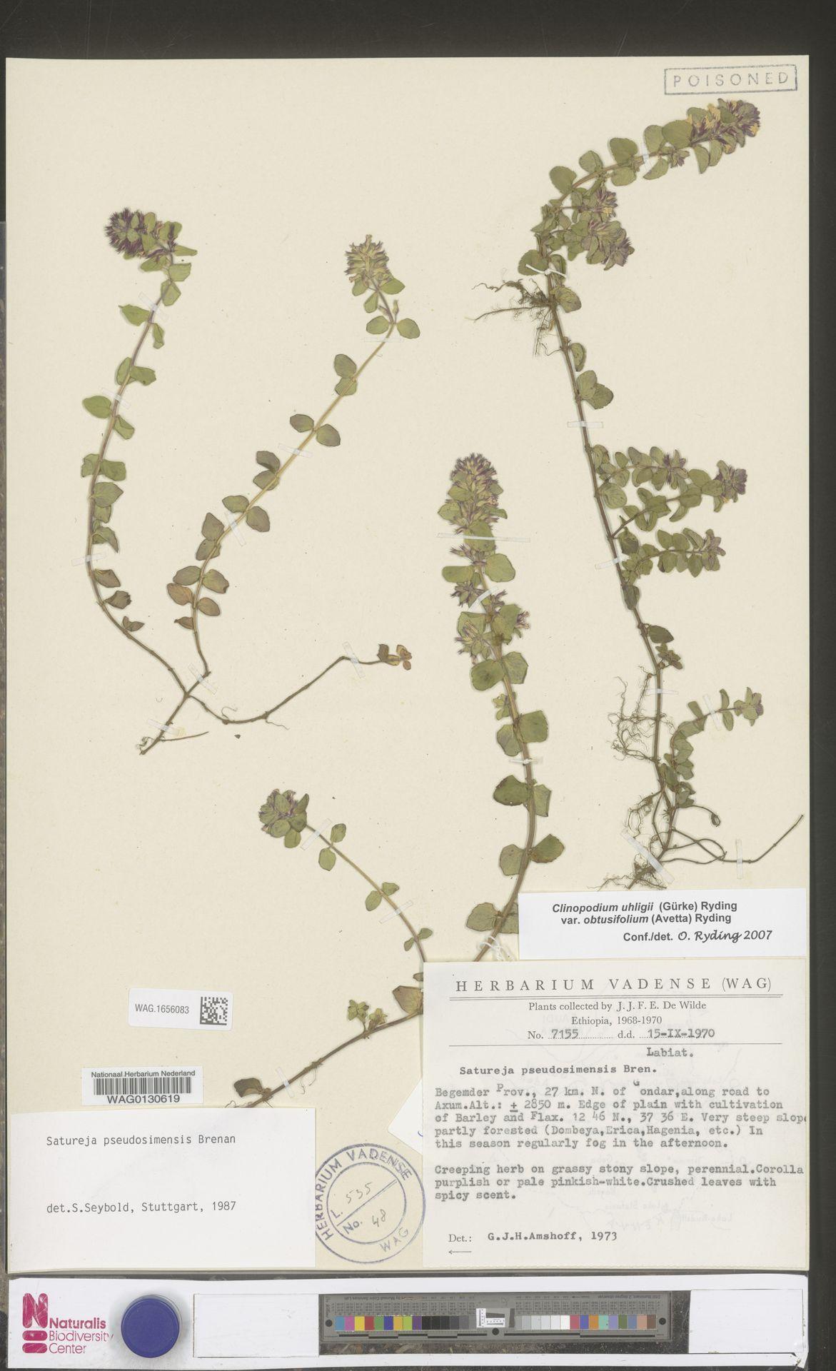 WAG.1656083 | Clinopodium uhligii var. obtusifolium (Avetta) Ryding