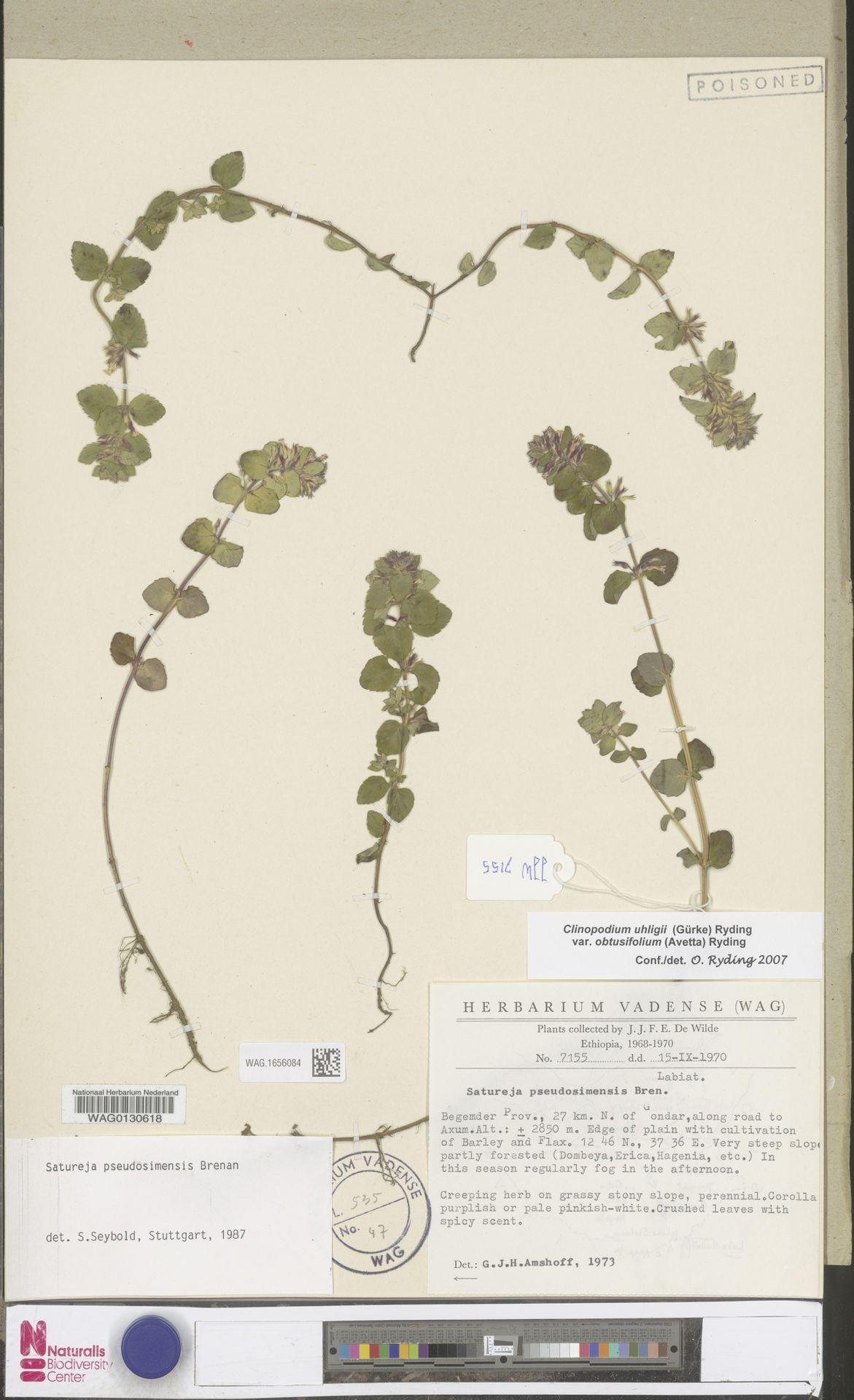 WAG.1656084 | Clinopodium uhligii var. obtusifolium (Avetta) Ryding