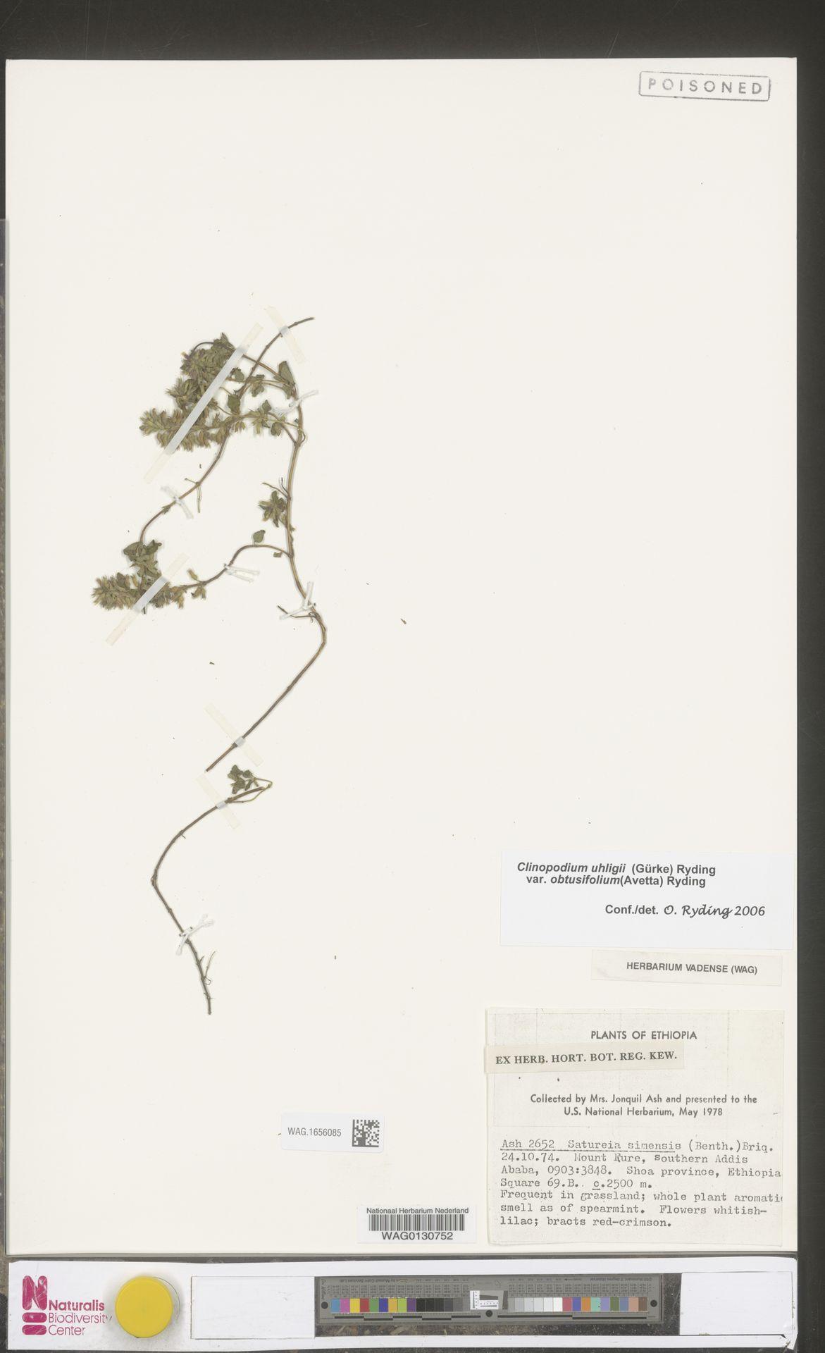 WAG.1656085 | Clinopodium uhligii var. obtusifolium (Avetta) Ryding