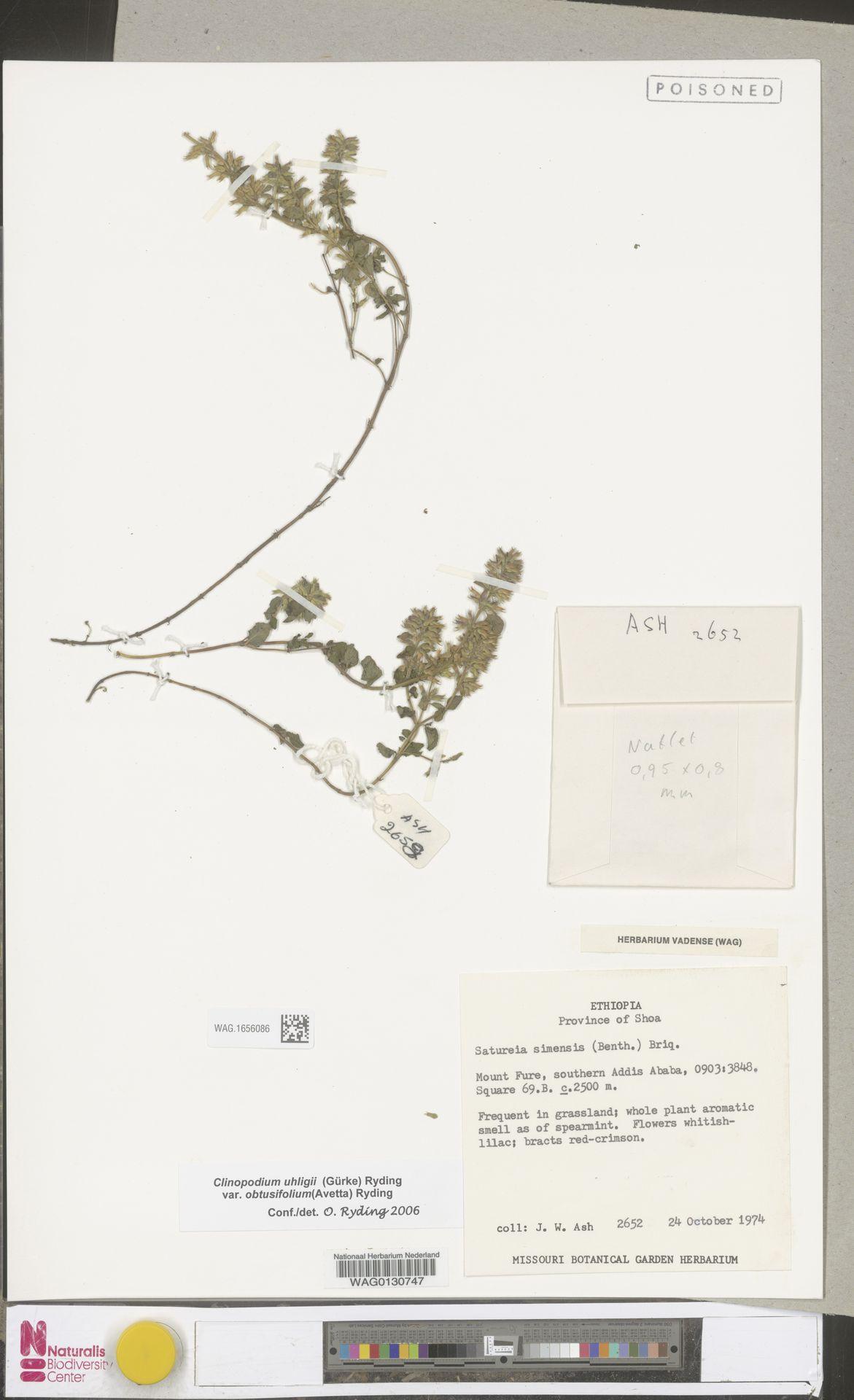 WAG.1656086 | Clinopodium uhligii var. obtusifolium (Avetta) Ryding