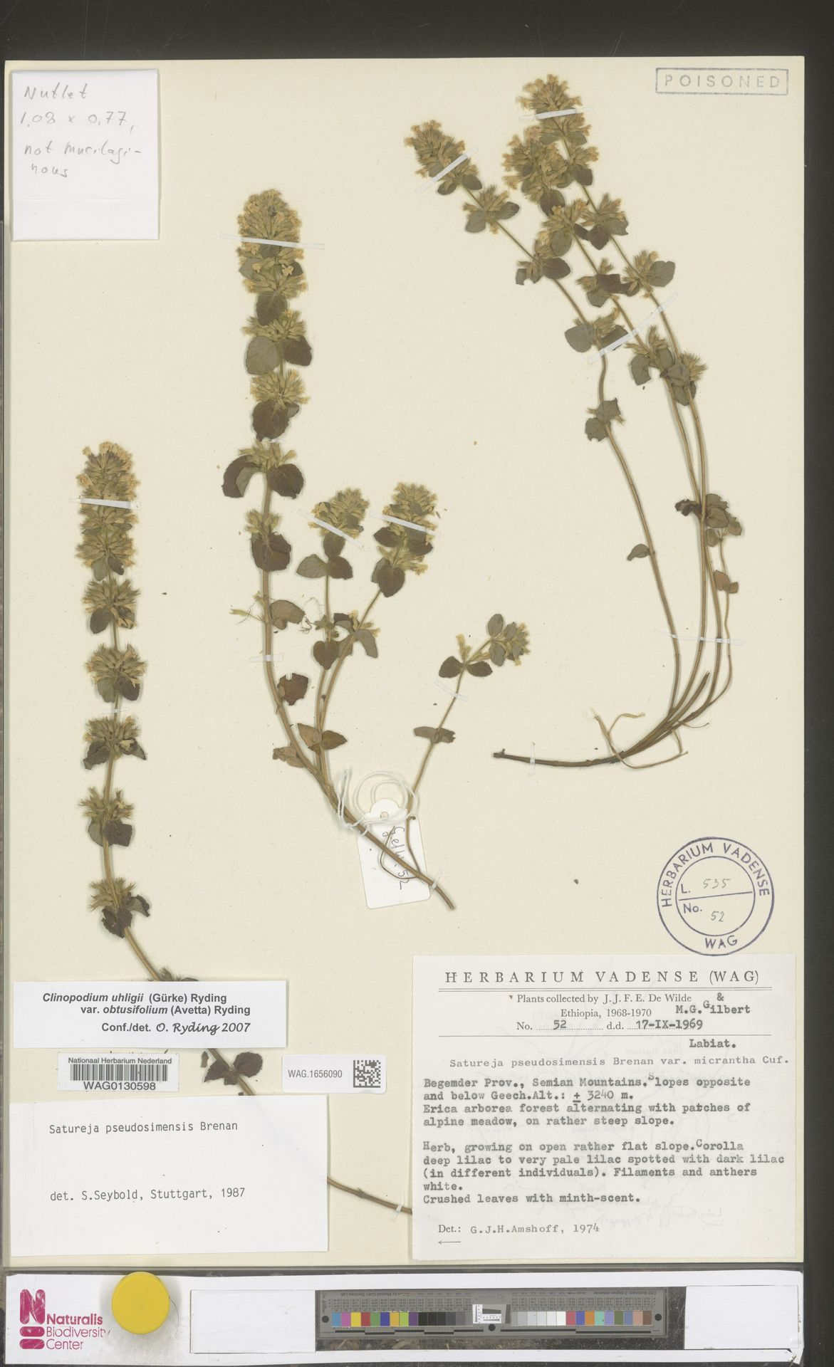 WAG.1656090 | Clinopodium uhligii var. obtusifolium (Avetta) Ryding