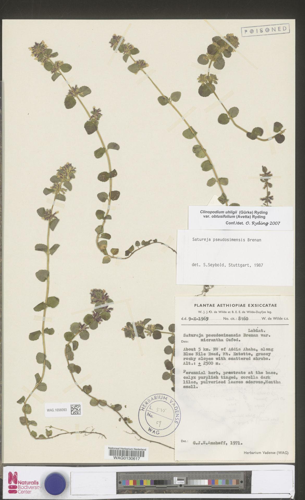 WAG.1656093 | Clinopodium uhligii var. obtusifolium (Avetta) Ryding