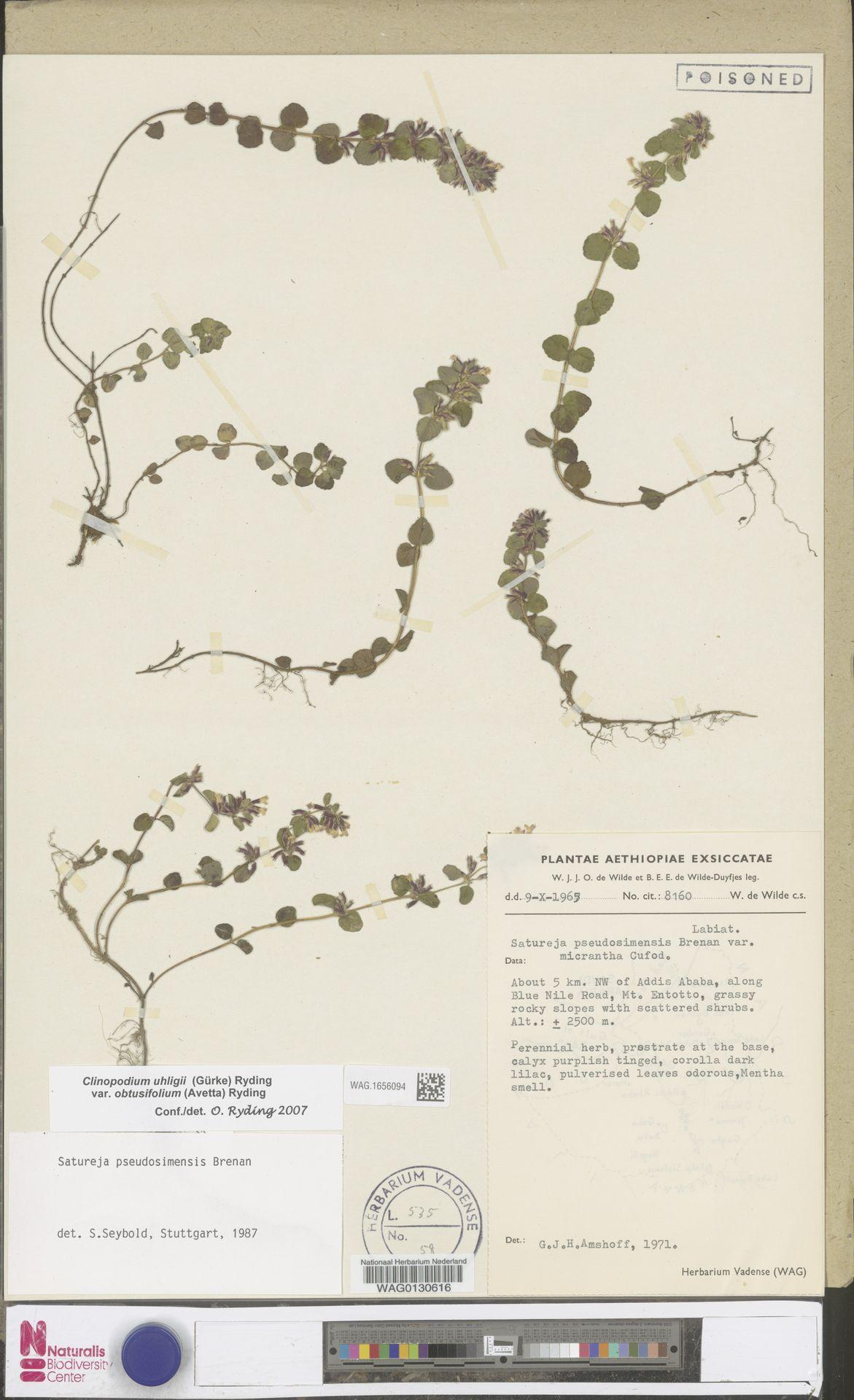 WAG.1656094 | Clinopodium uhligii var. obtusifolium (Avetta) Ryding