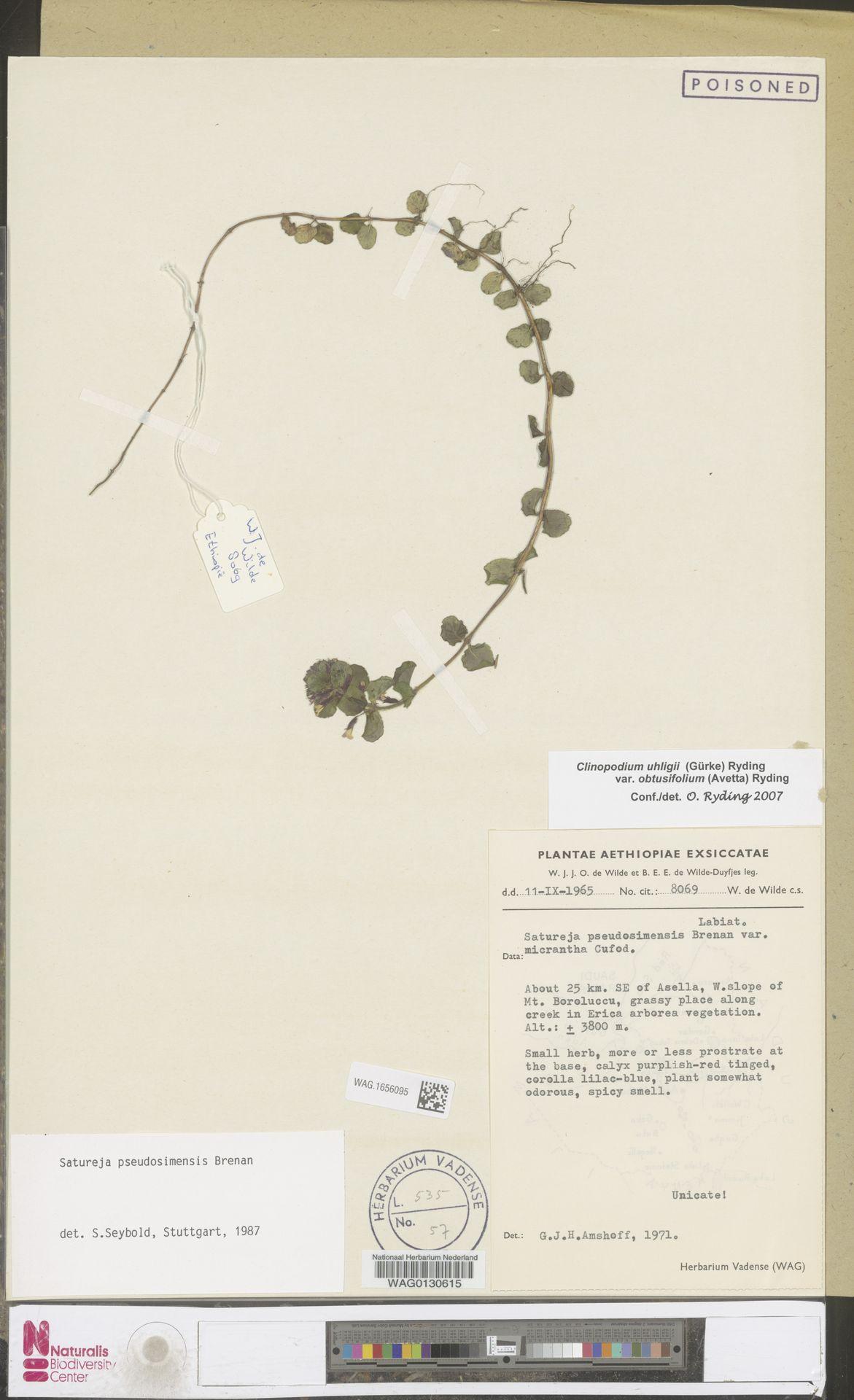 WAG.1656095 | Clinopodium uhligii var. obtusifolium (Avetta) Ryding