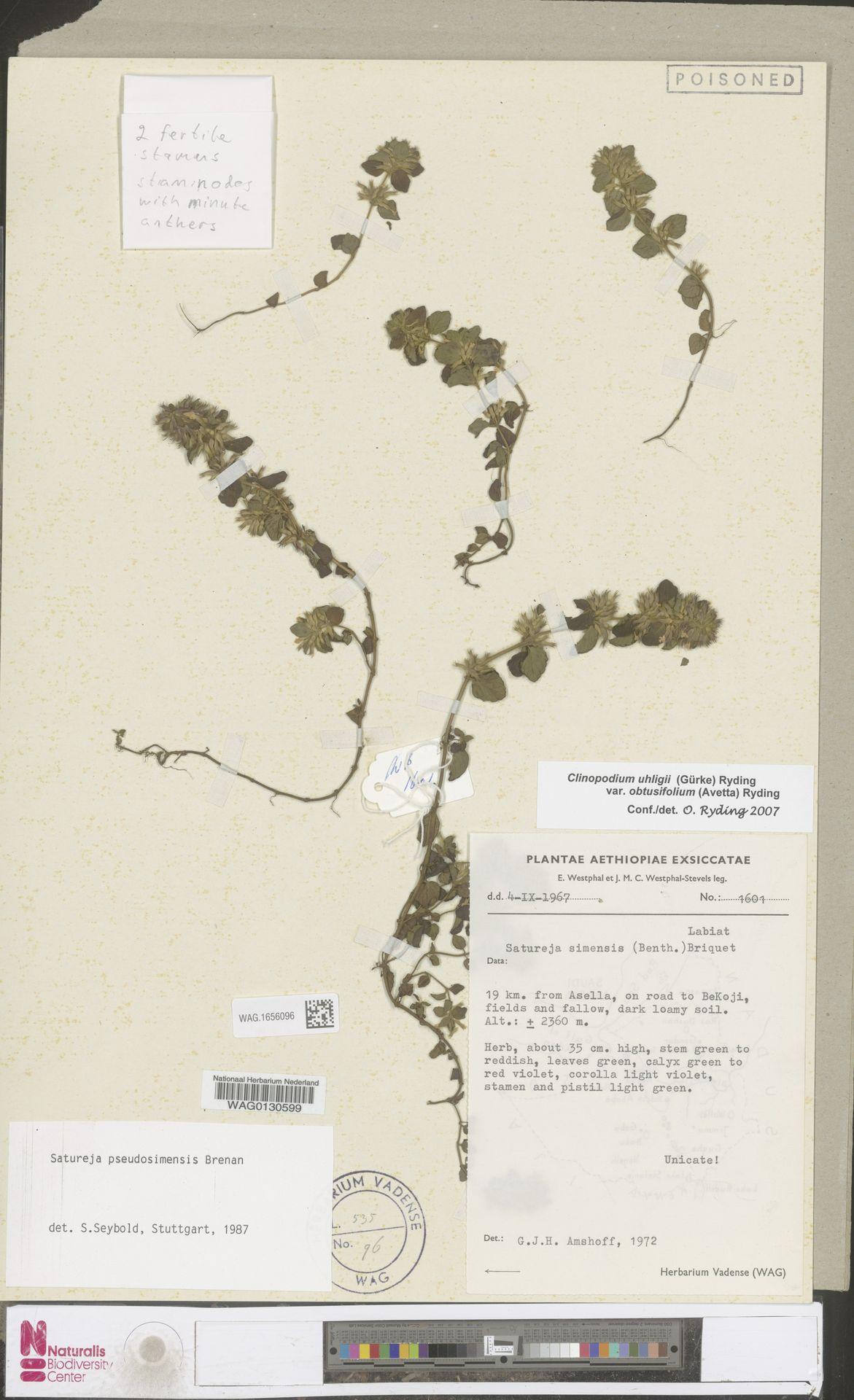 WAG.1656096 | Clinopodium uhligii var. obtusifolium (Avetta) Ryding