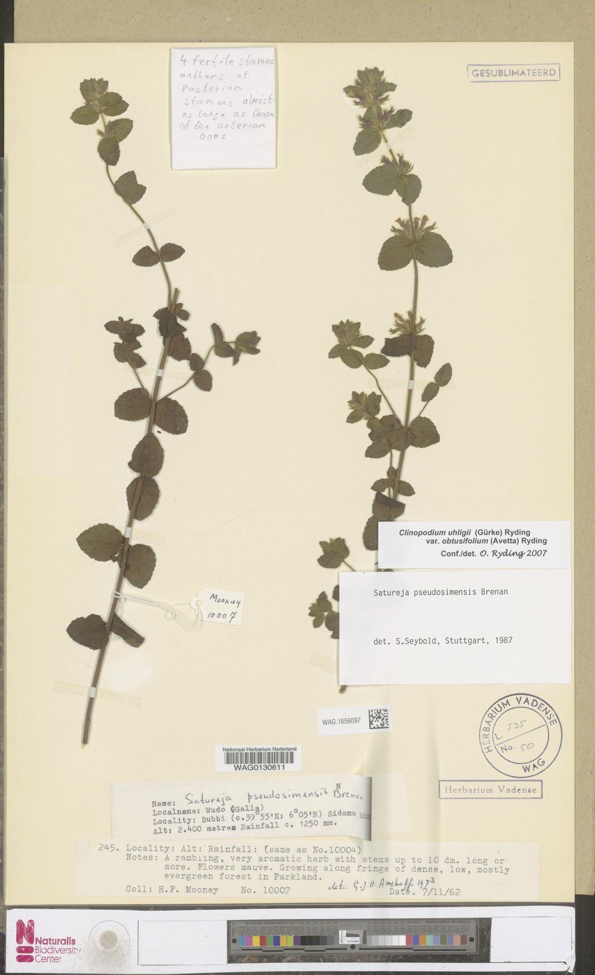 WAG.1656097 | Clinopodium uhligii var. obtusifolium (Avetta) Ryding