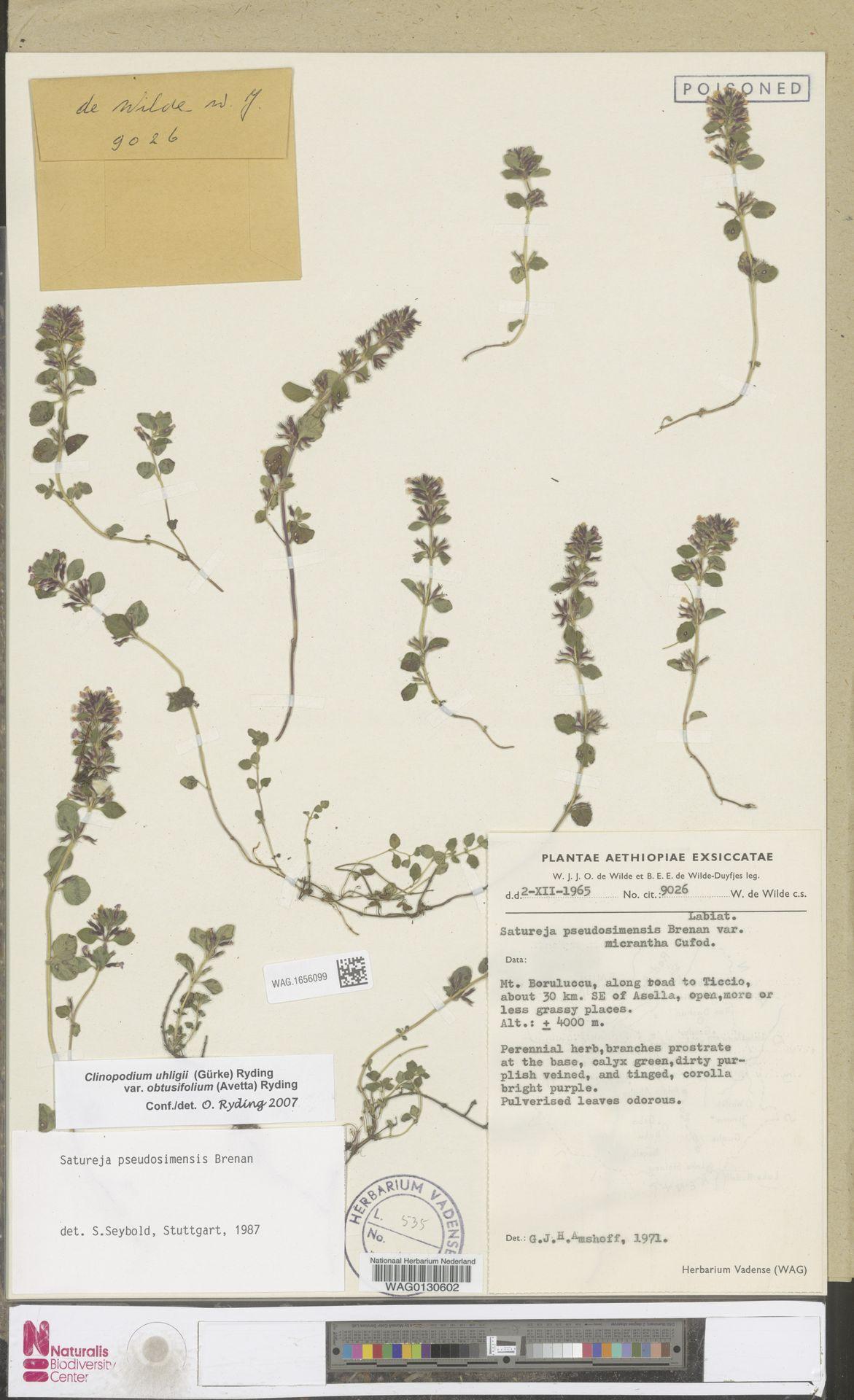 WAG.1656099 | Clinopodium uhligii var. obtusifolium (Avetta) Ryding