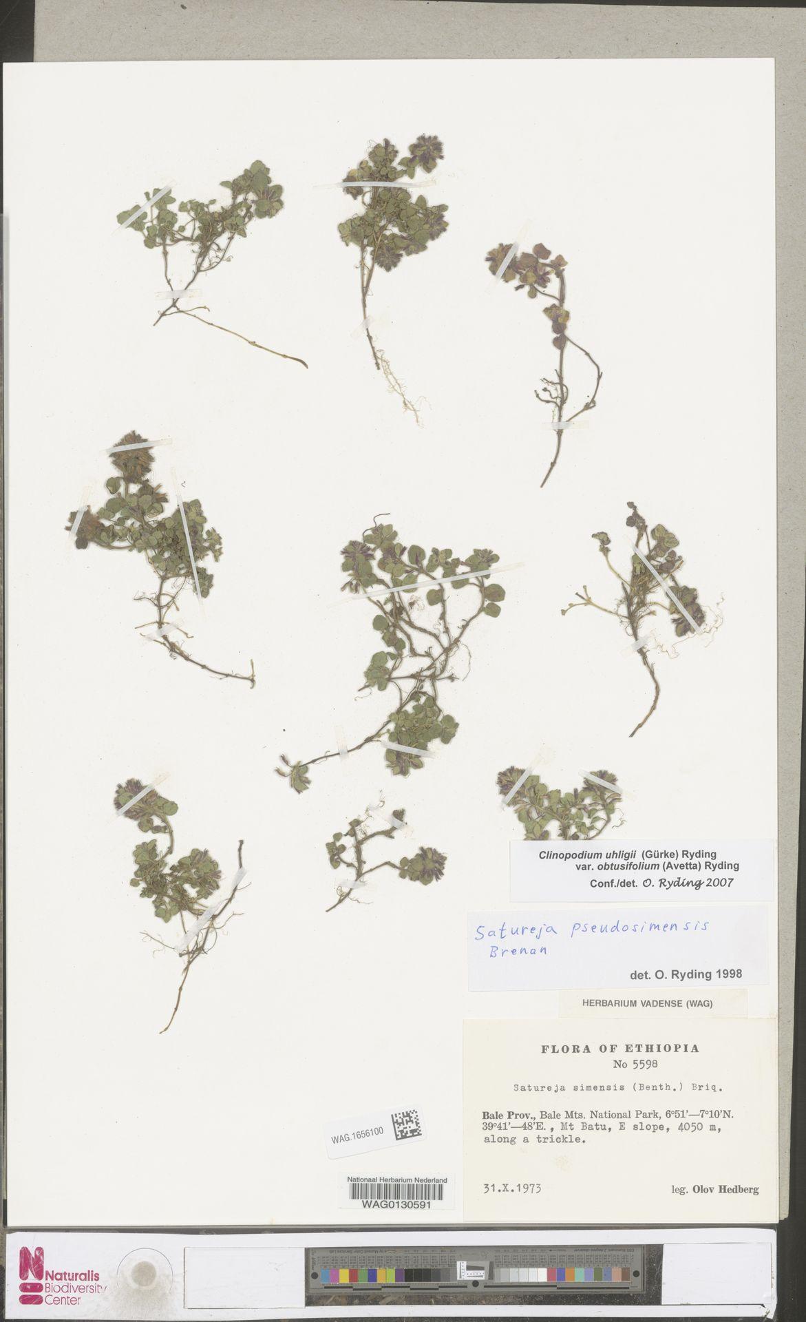 WAG.1656100 | Clinopodium uhligii var. obtusifolium (Avetta) Ryding
