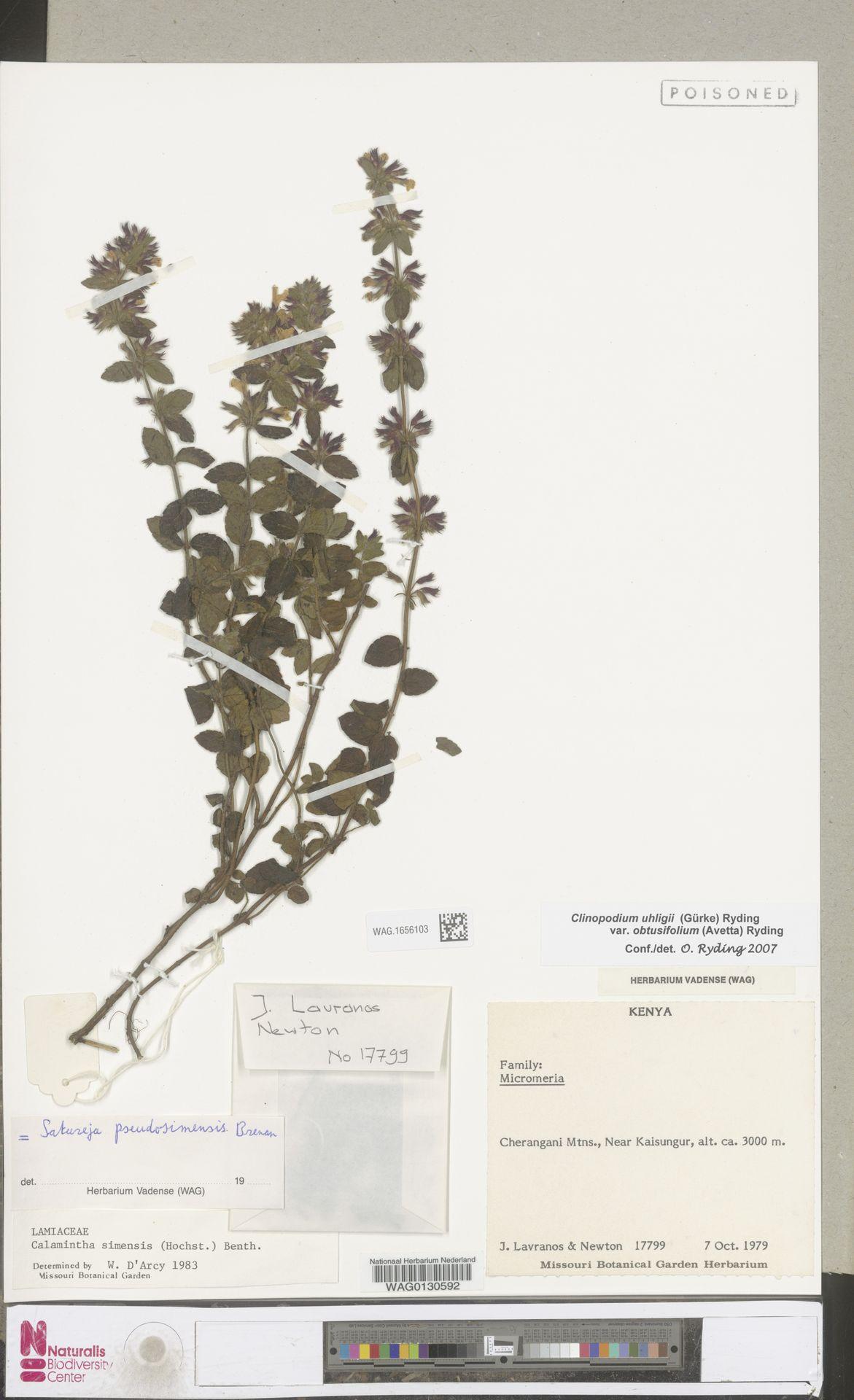 WAG.1656103 | Clinopodium uhligii var. obtusifolium (Avetta) Ryding