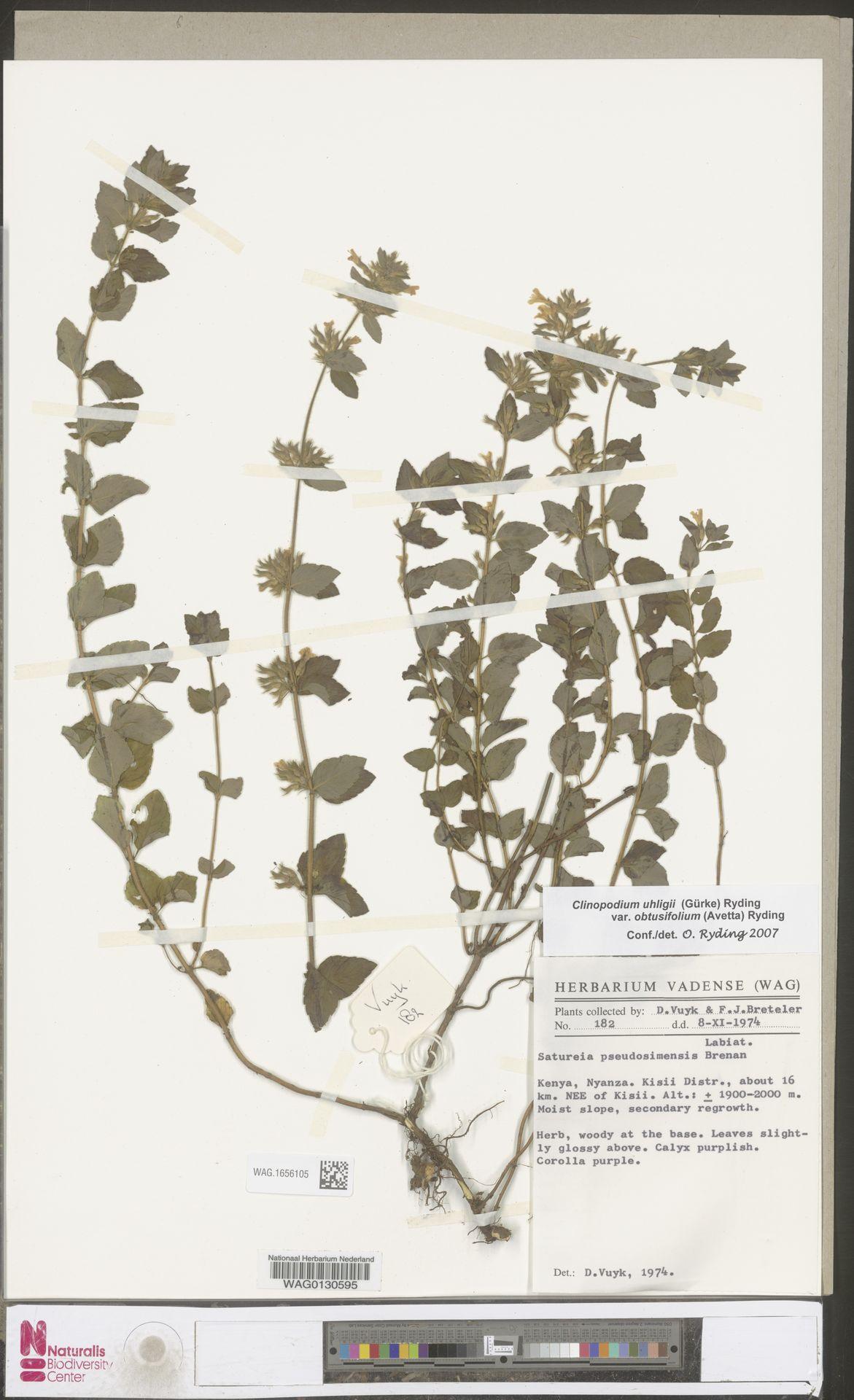 WAG.1656105 | Clinopodium uhligii var. obtusifolium (Avetta) Ryding