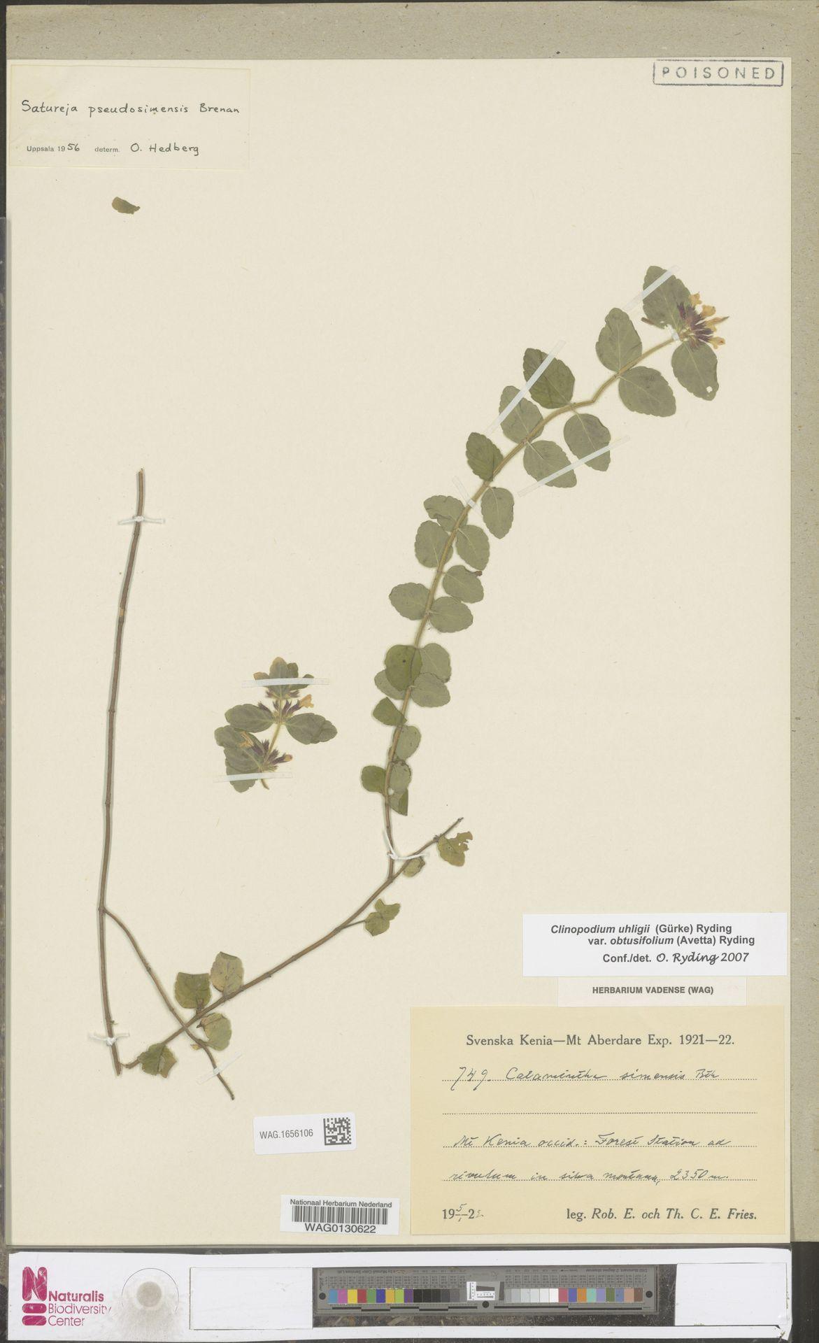 WAG.1656106 | Clinopodium uhligii var. obtusifolium (Avetta) Ryding