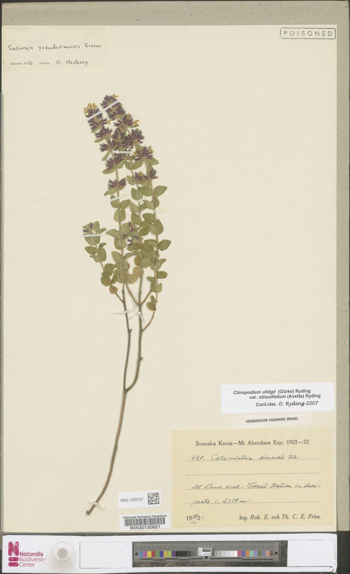 WAG.1656107 | Clinopodium uhligii var. obtusifolium (Avetta) Ryding