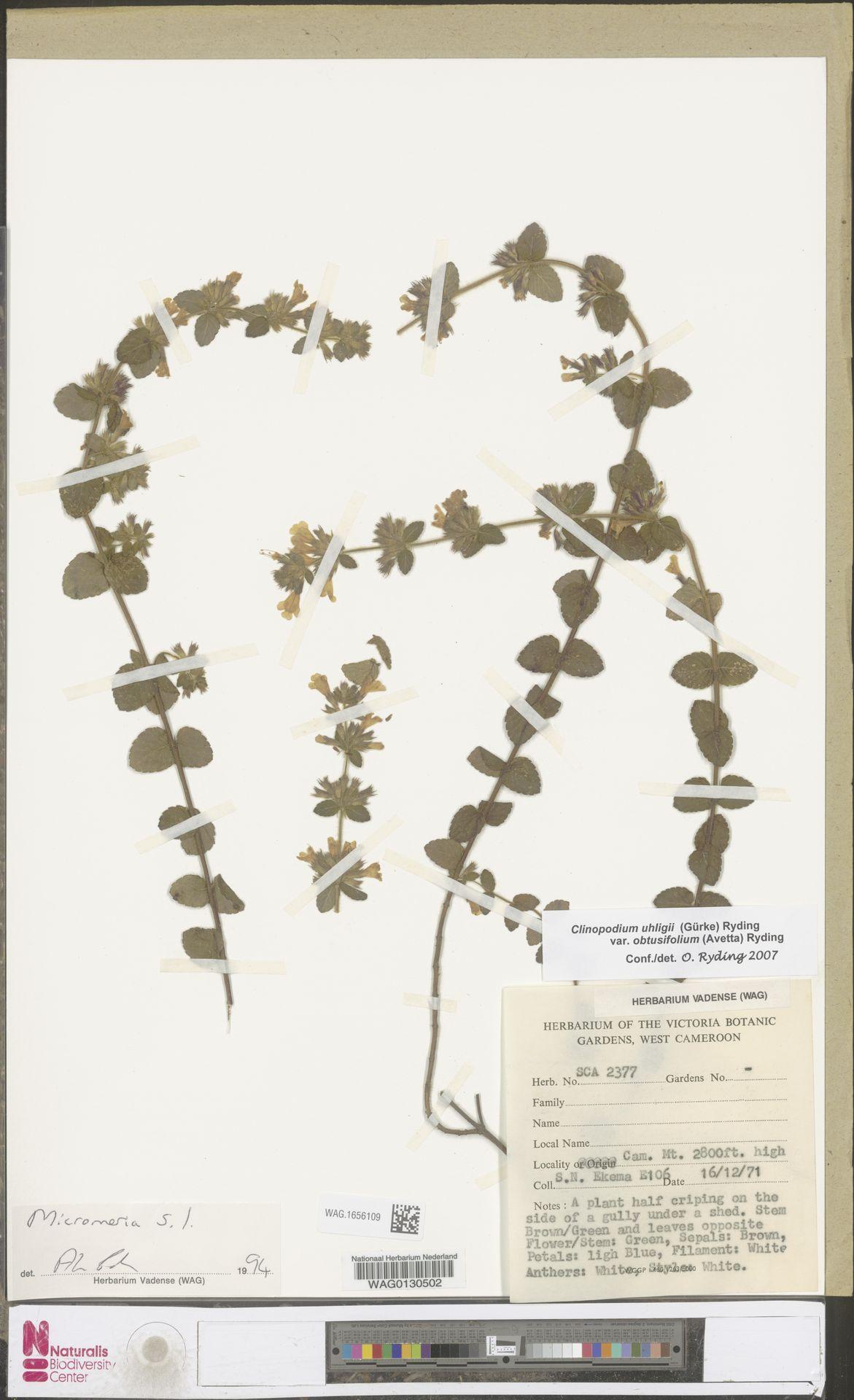 WAG.1656109 | Clinopodium uhligii var. obtusifolium (Avetta) Ryding