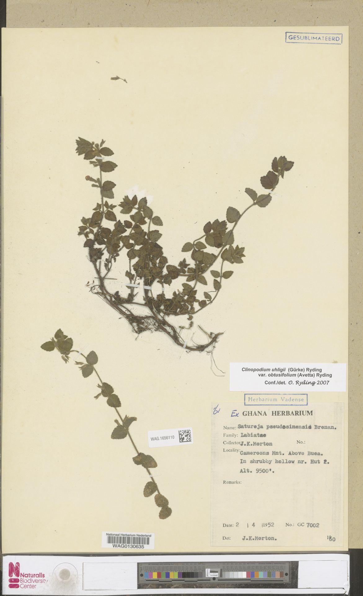 WAG.1656110 | Clinopodium uhligii var. obtusifolium (Avetta) Ryding