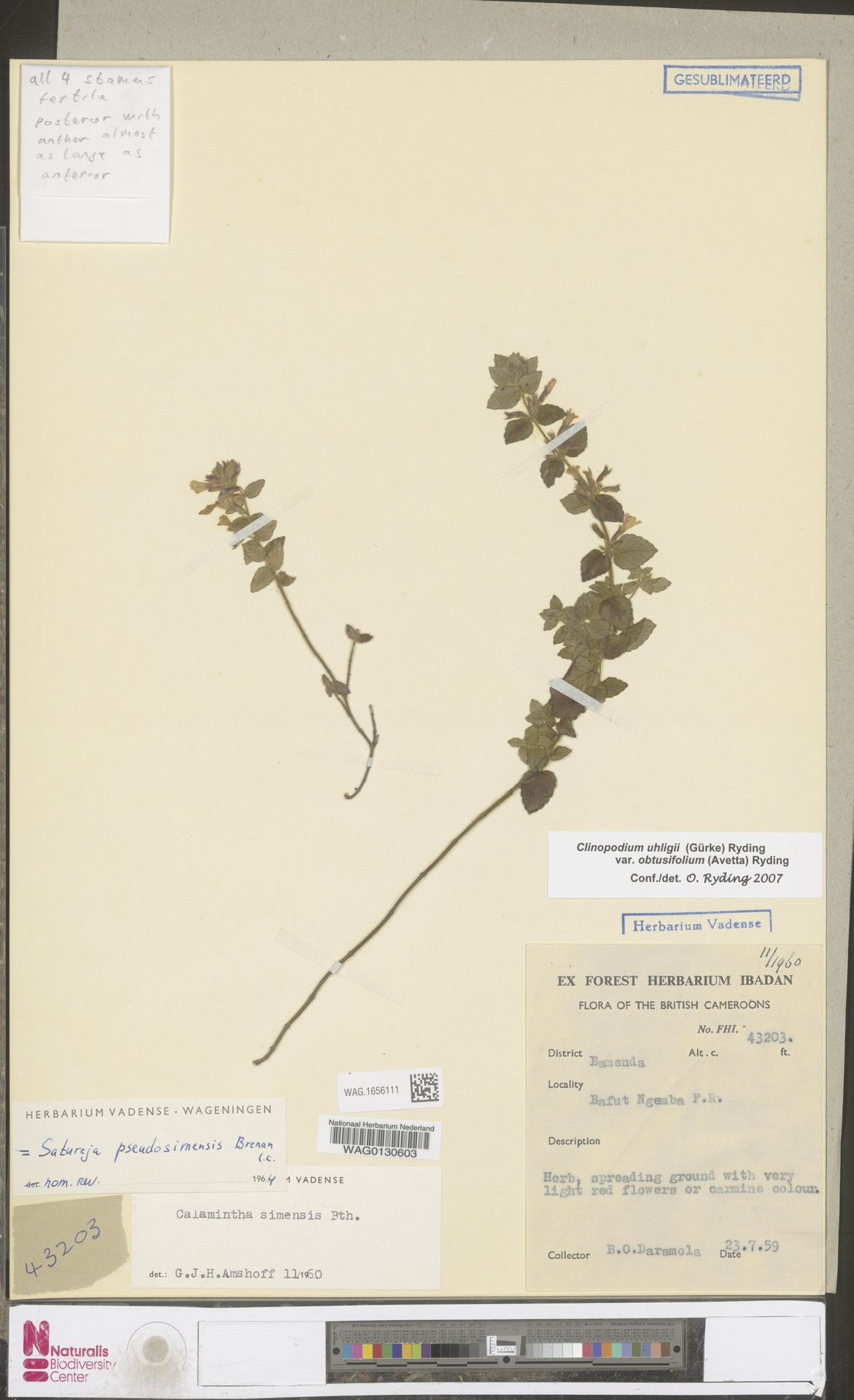 WAG.1656111 | Clinopodium uhligii var. obtusifolium (Avetta) Ryding