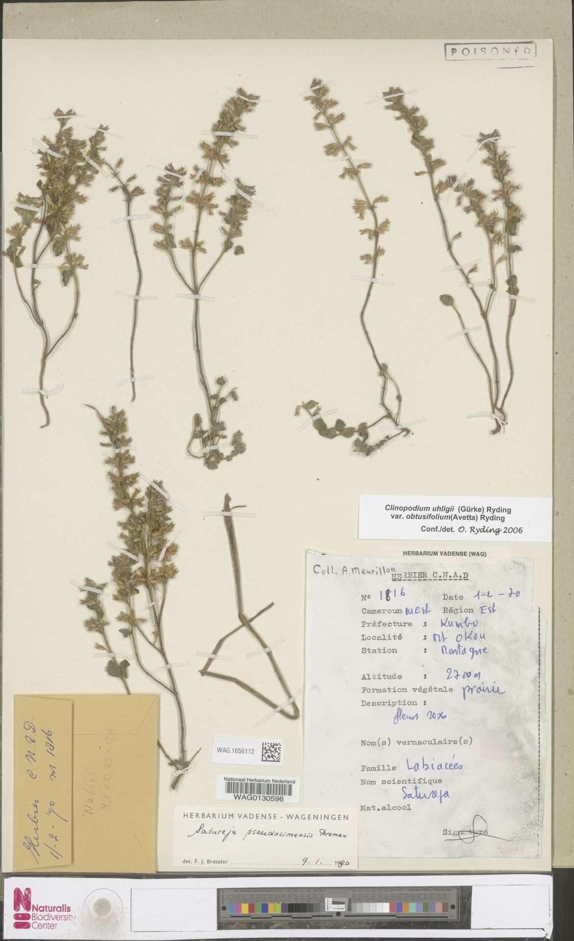 WAG.1656112 | Clinopodium uhligii var. obtusifolium (Avetta) Ryding