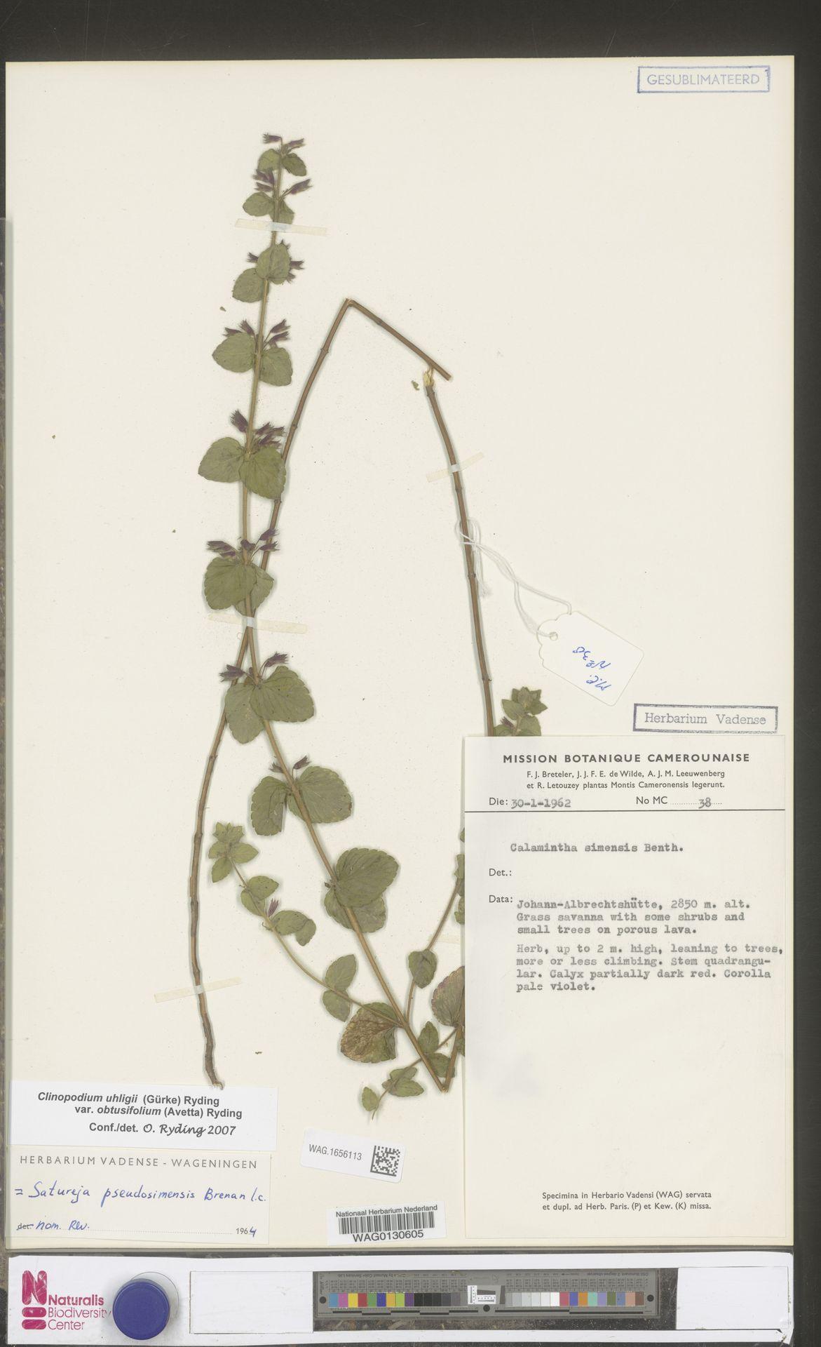 WAG.1656113 | Clinopodium uhligii var. obtusifolium (Avetta) Ryding