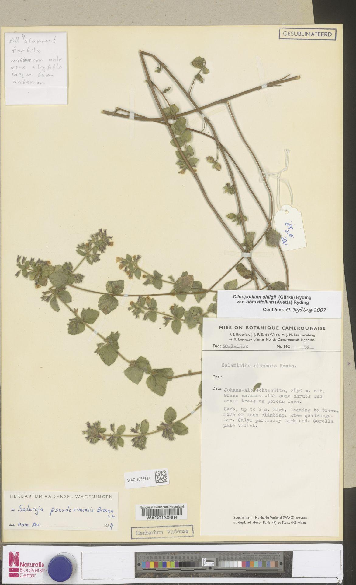 WAG.1656114 | Clinopodium uhligii var. obtusifolium (Avetta) Ryding