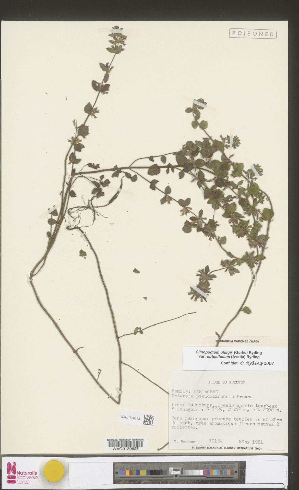 WAG.1656123 | Clinopodium uhligii var. obtusifolium (Avetta) Ryding