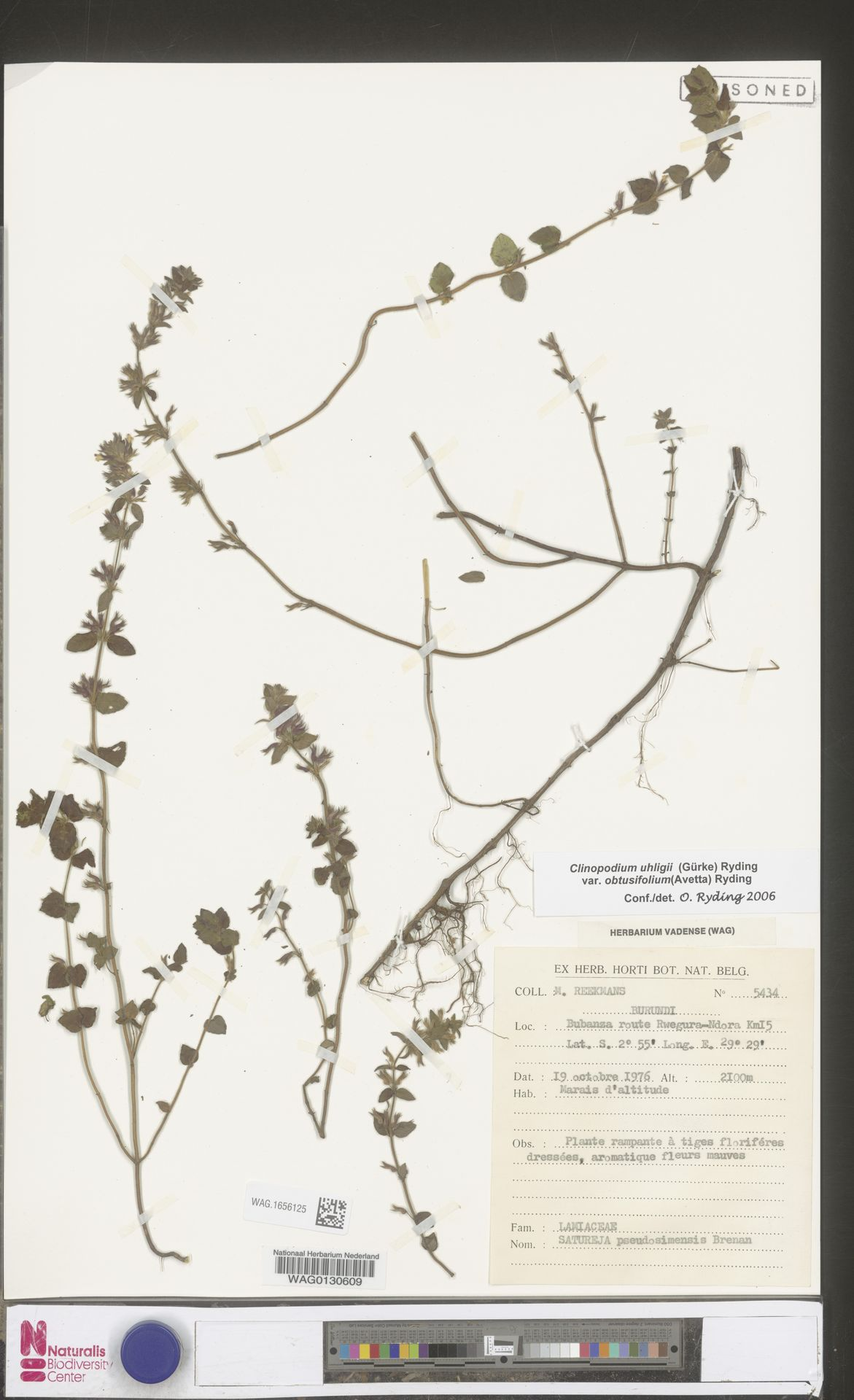 WAG.1656125 | Clinopodium uhligii var. obtusifolium (Avetta) Ryding