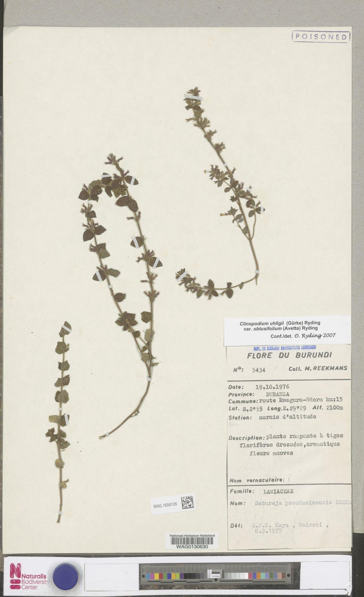 WAG.1656126 | Clinopodium uhligii var. obtusifolium (Avetta) Ryding
