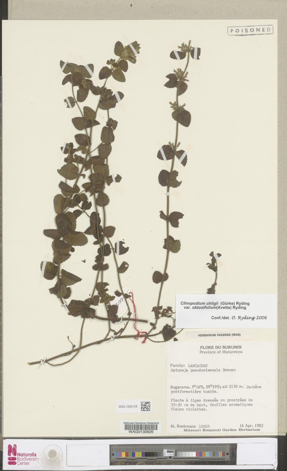 WAG.1656128 | Clinopodium uhligii var. obtusifolium (Avetta) Ryding
