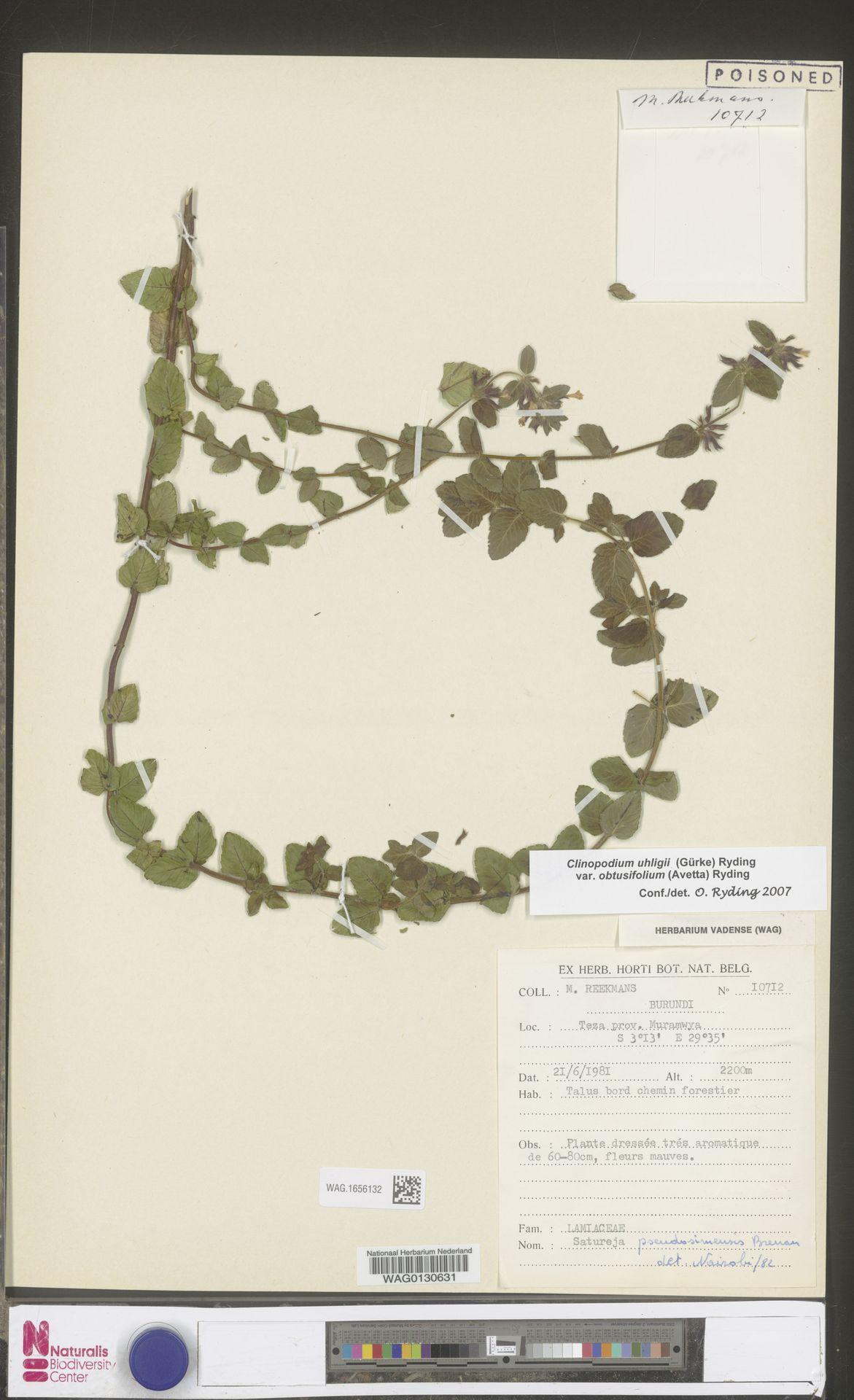 WAG.1656132 | Clinopodium uhligii var. obtusifolium (Avetta) Ryding