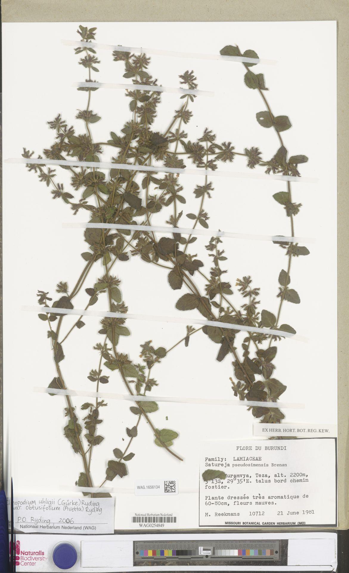 WAG.1656134 | Clinopodium uhligii var. obtusifolium (Avetta) Ryding