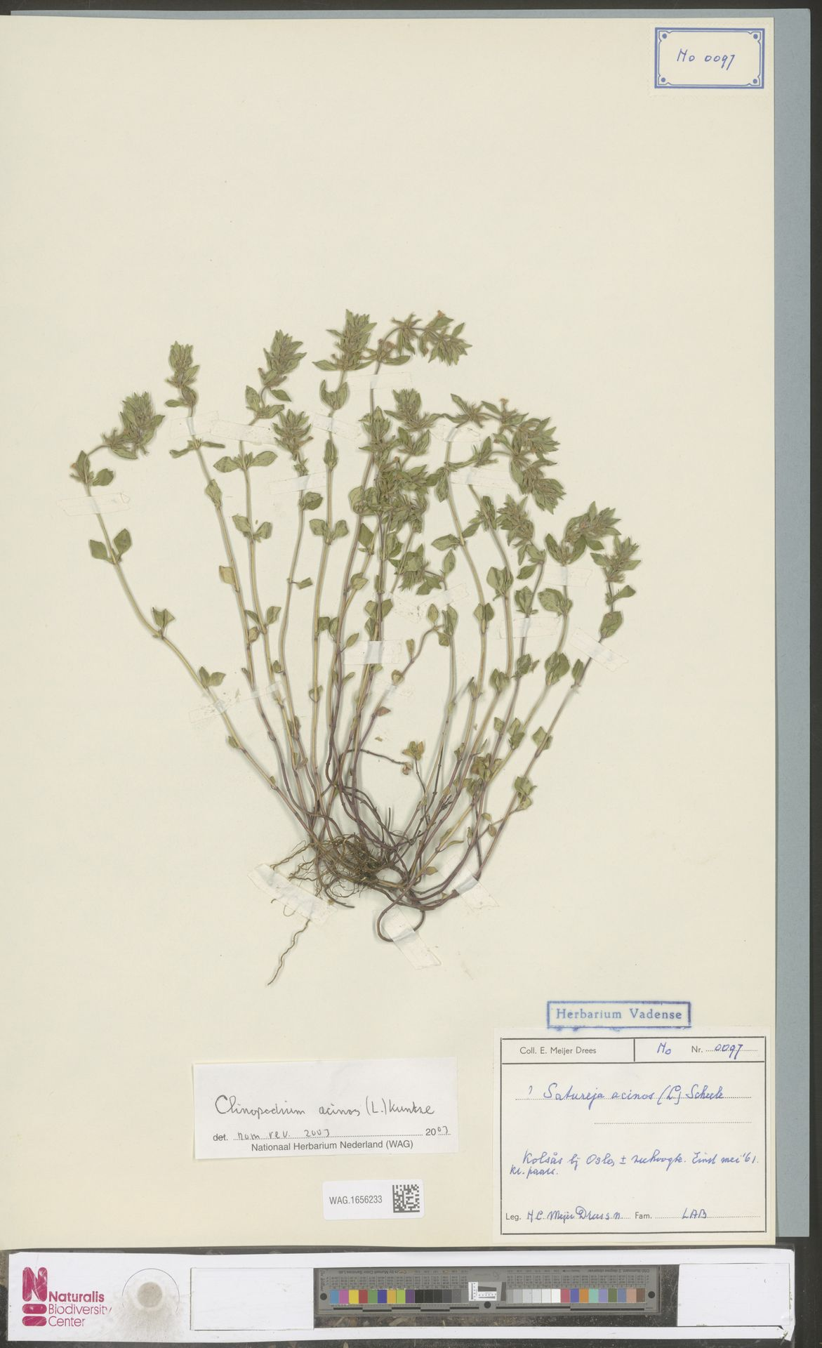 WAG.1656233 | Clinopodium acinos (L.) Kuntze