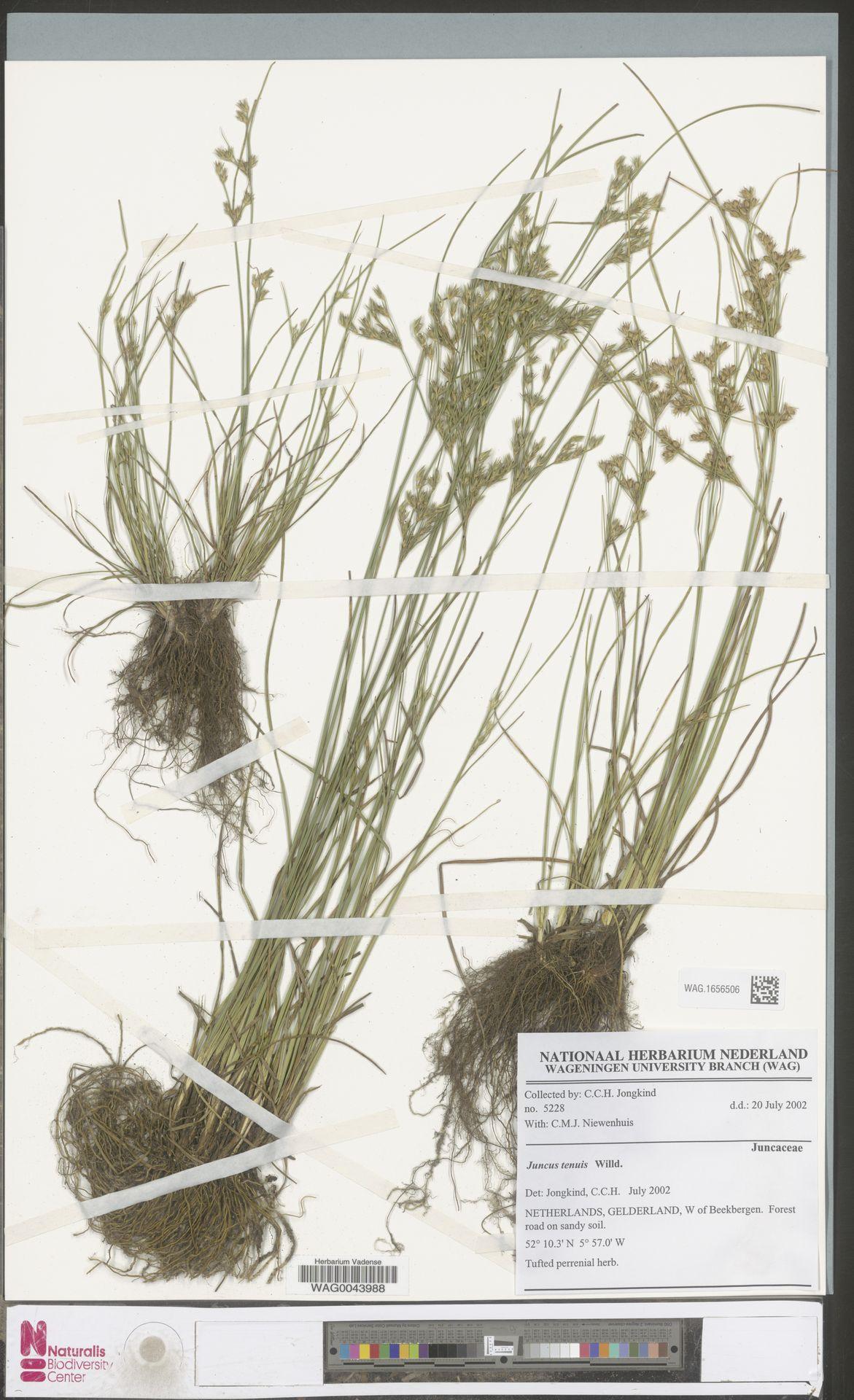 WAG.1656506 | Juncus tenuis Willd.