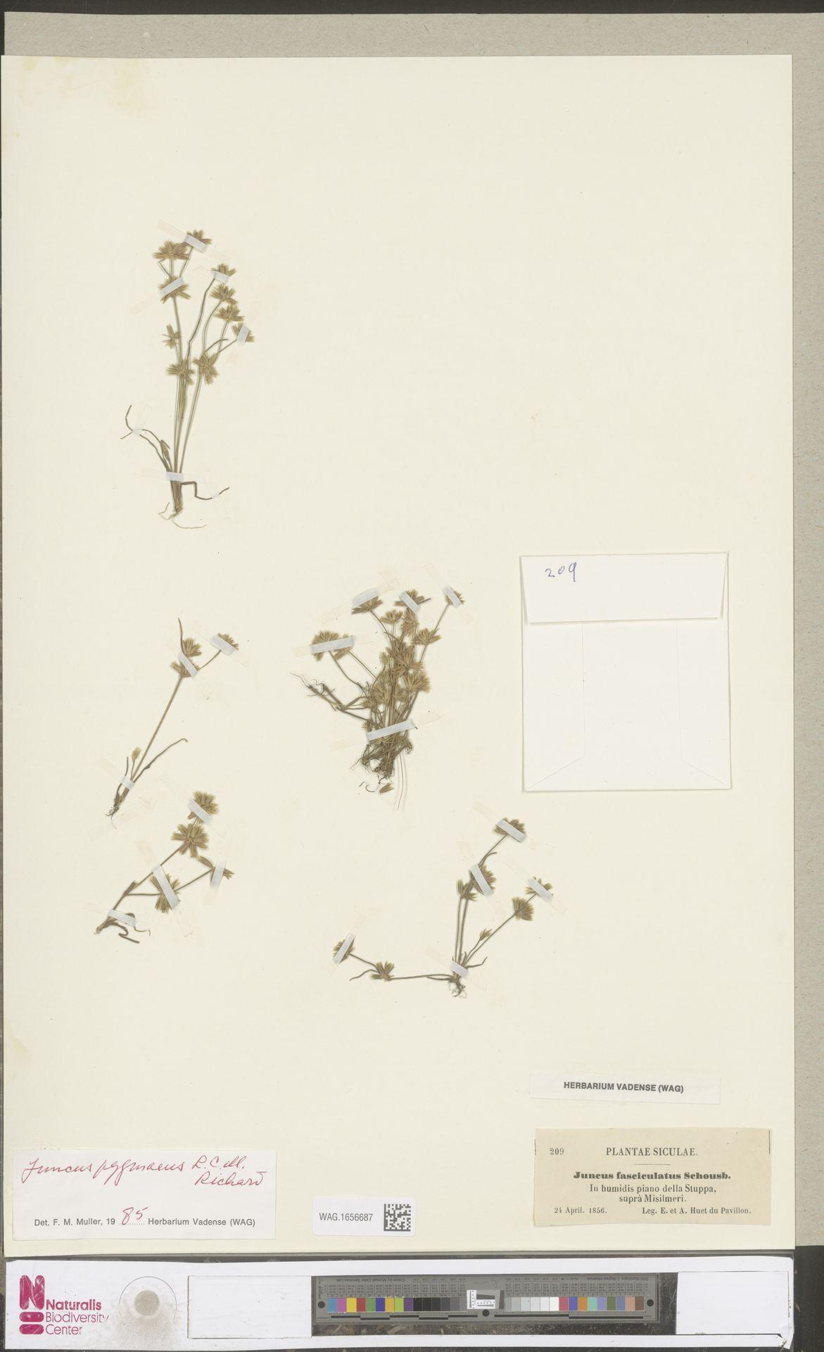 WAG.1656687   Juncus pygmaeus Rich.