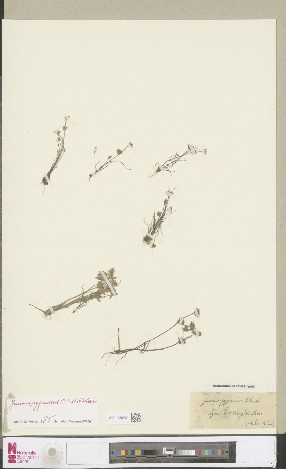 WAG.1656692 | Juncus pygmaeus Rich.