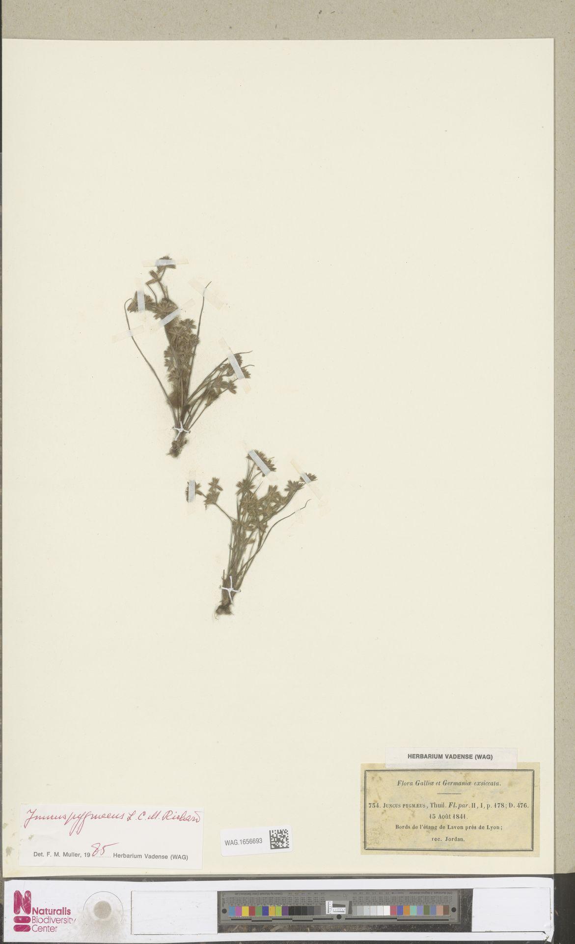 WAG.1656693 | Juncus pygmaeus Rich.