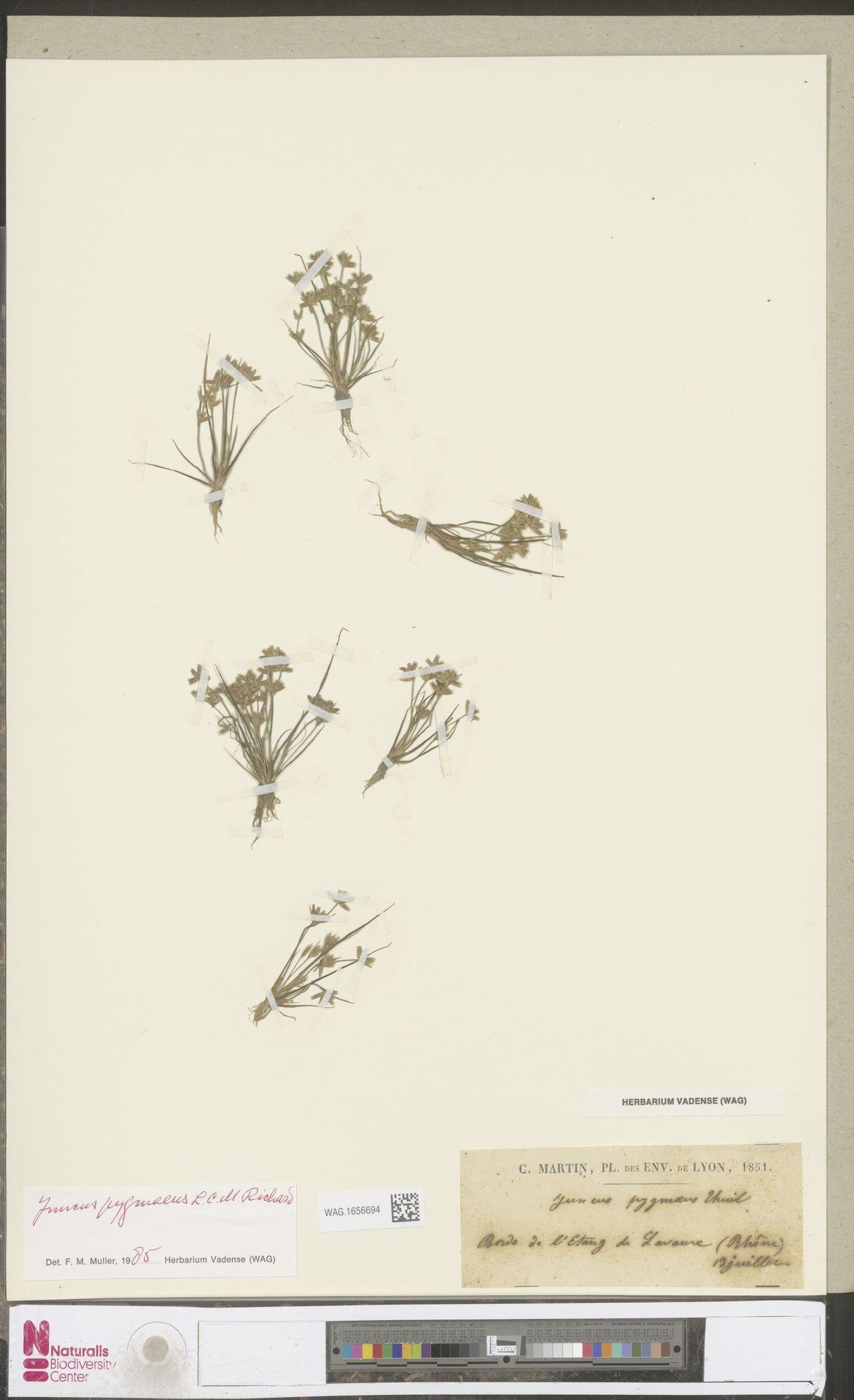 WAG.1656694 | Juncus pygmaeus Rich.