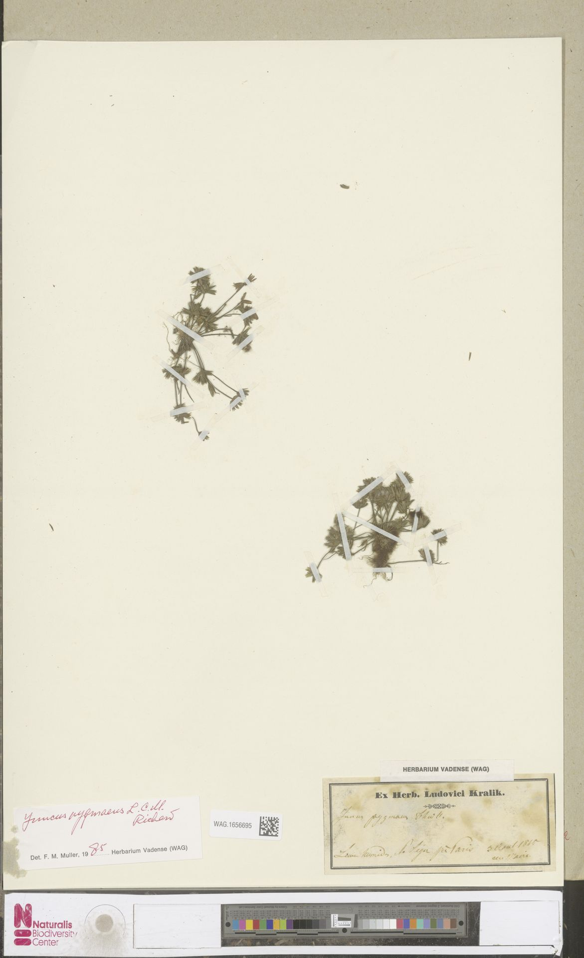 WAG.1656695 | Juncus pygmaeus Rich.