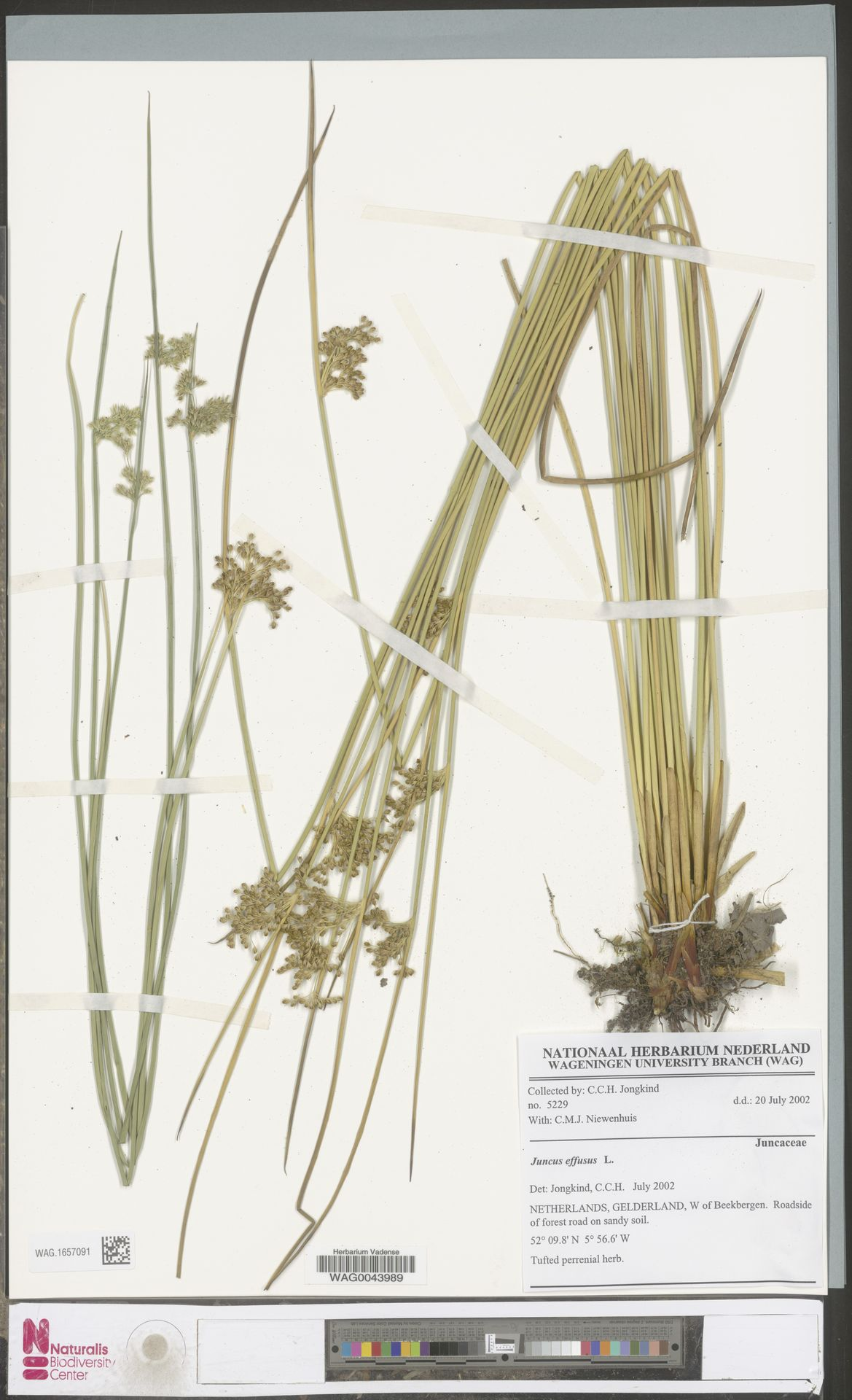 WAG.1657091 | Juncus effusus L.