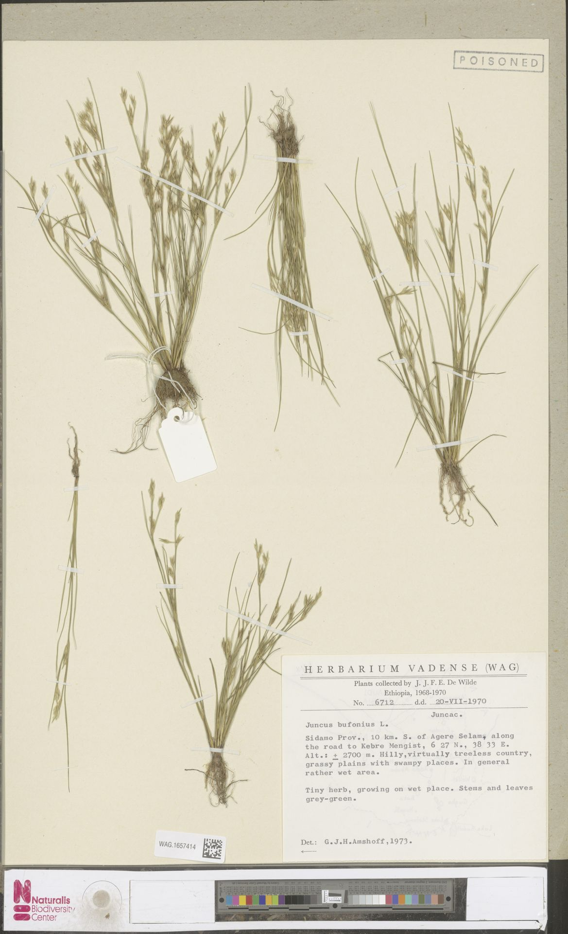 WAG.1657414 | Juncus bufonius L.