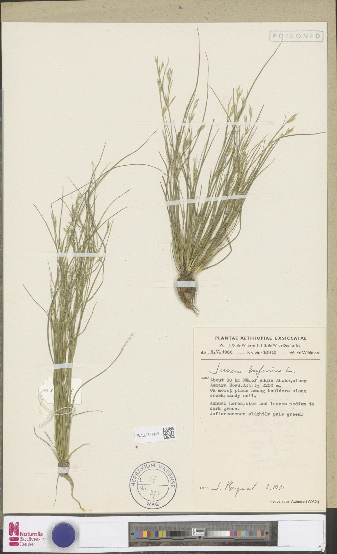 WAG.1657419 | Juncus bufonius L.